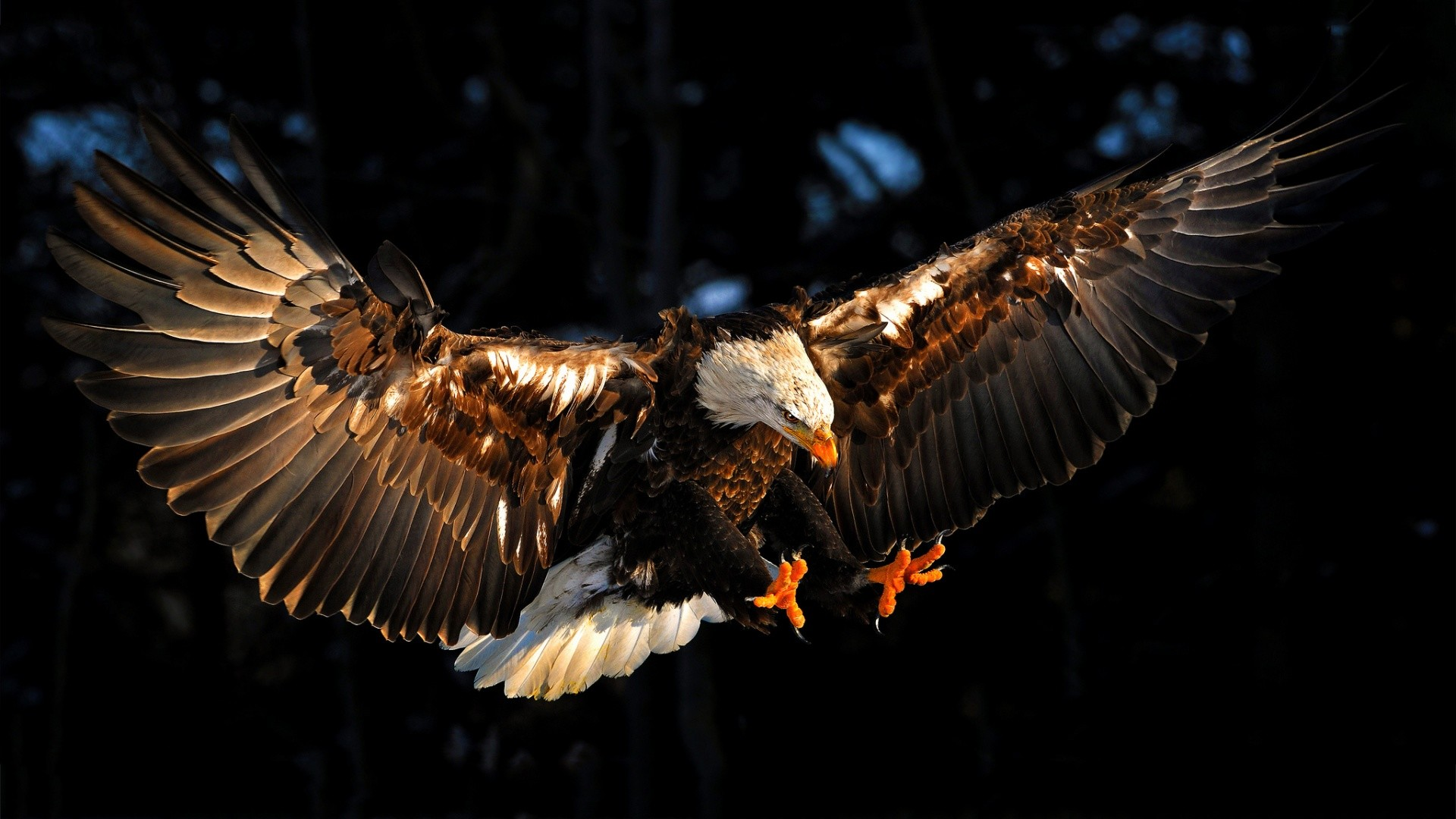Eagle HD Wallpaper 6