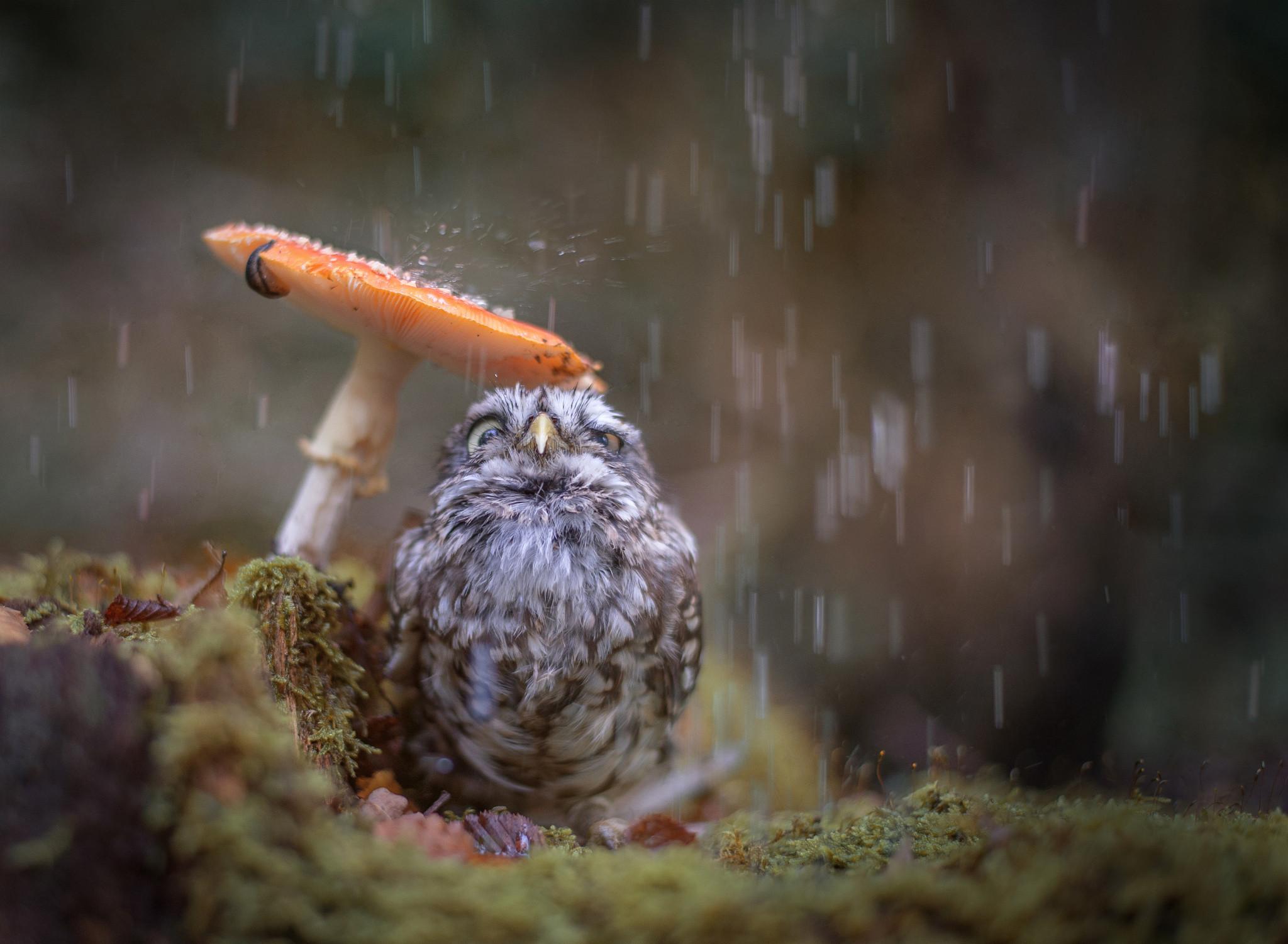 bird, owl, chick, rain, mushroom