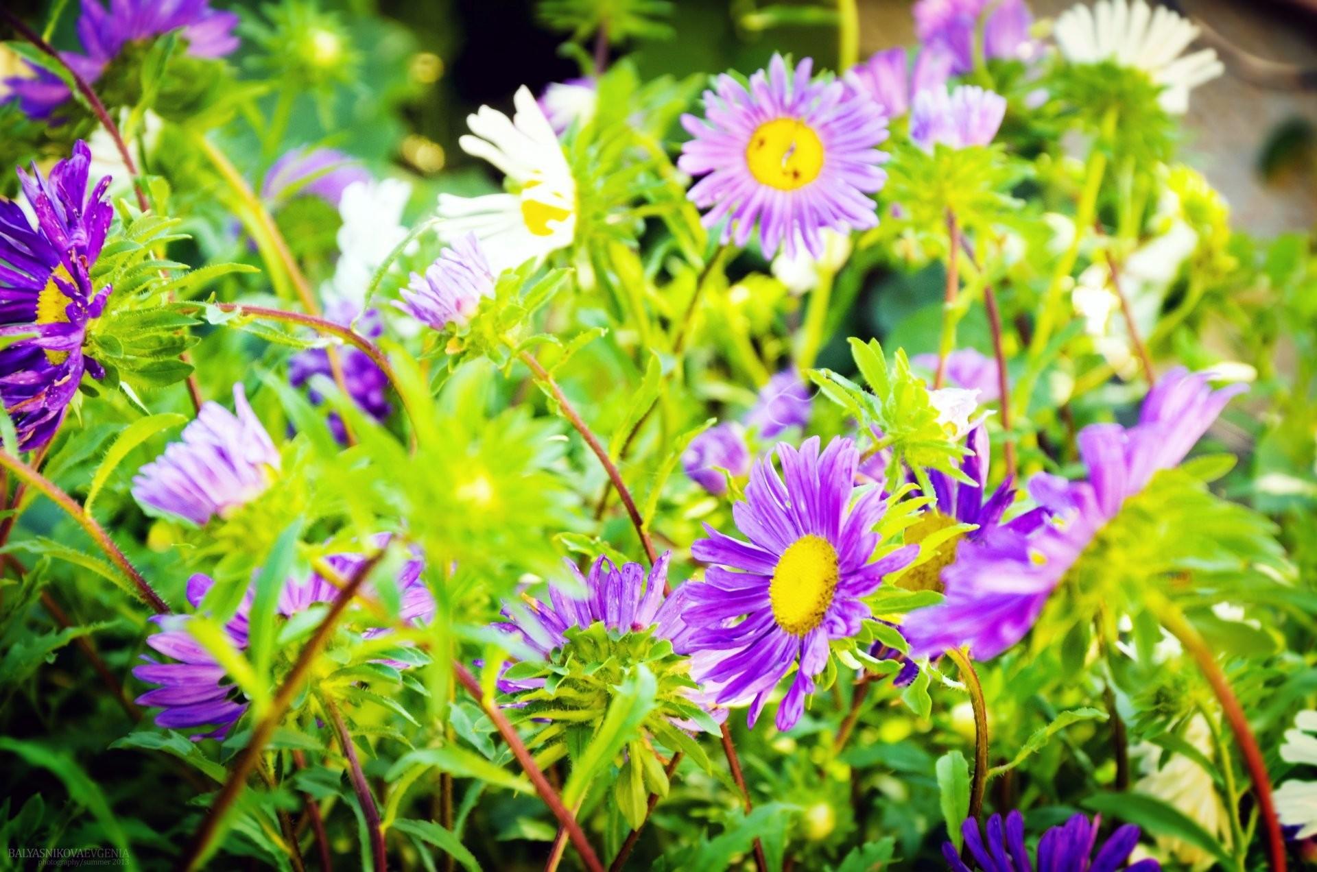 flower beautiful cute summer close up villa nature landscape photo flowers  summer