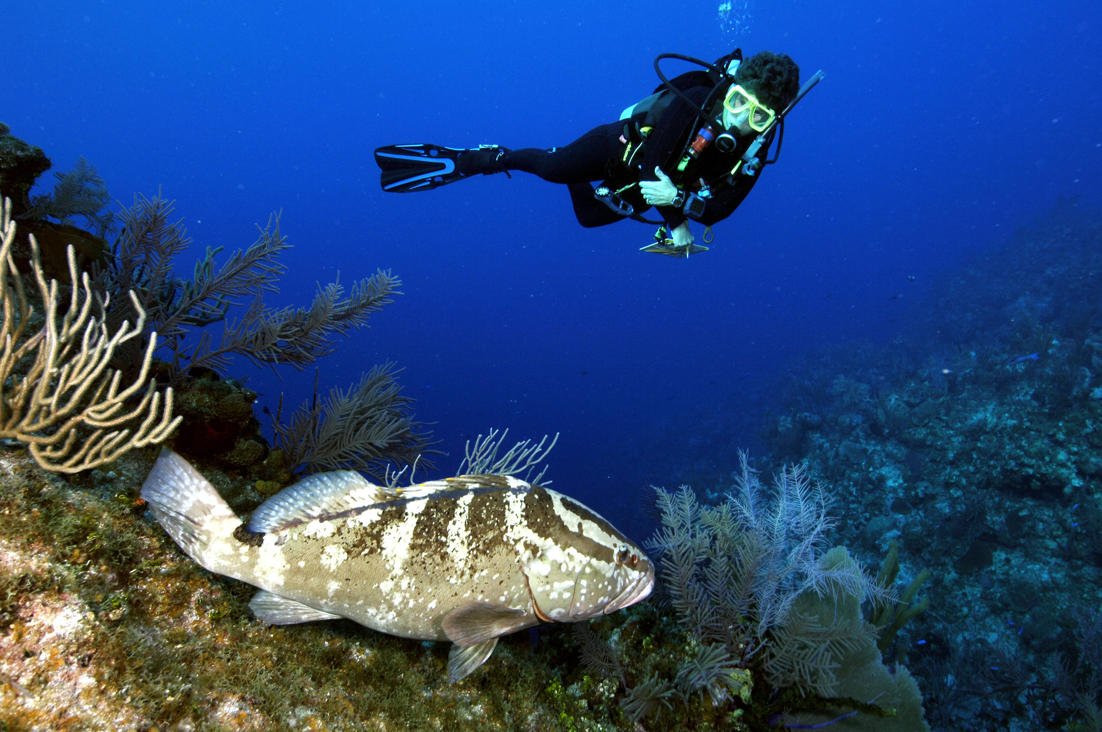 Recent results from REEF's Grouper Moon research was presented at the GCFI  conference in November. Photo by Phil Bush.