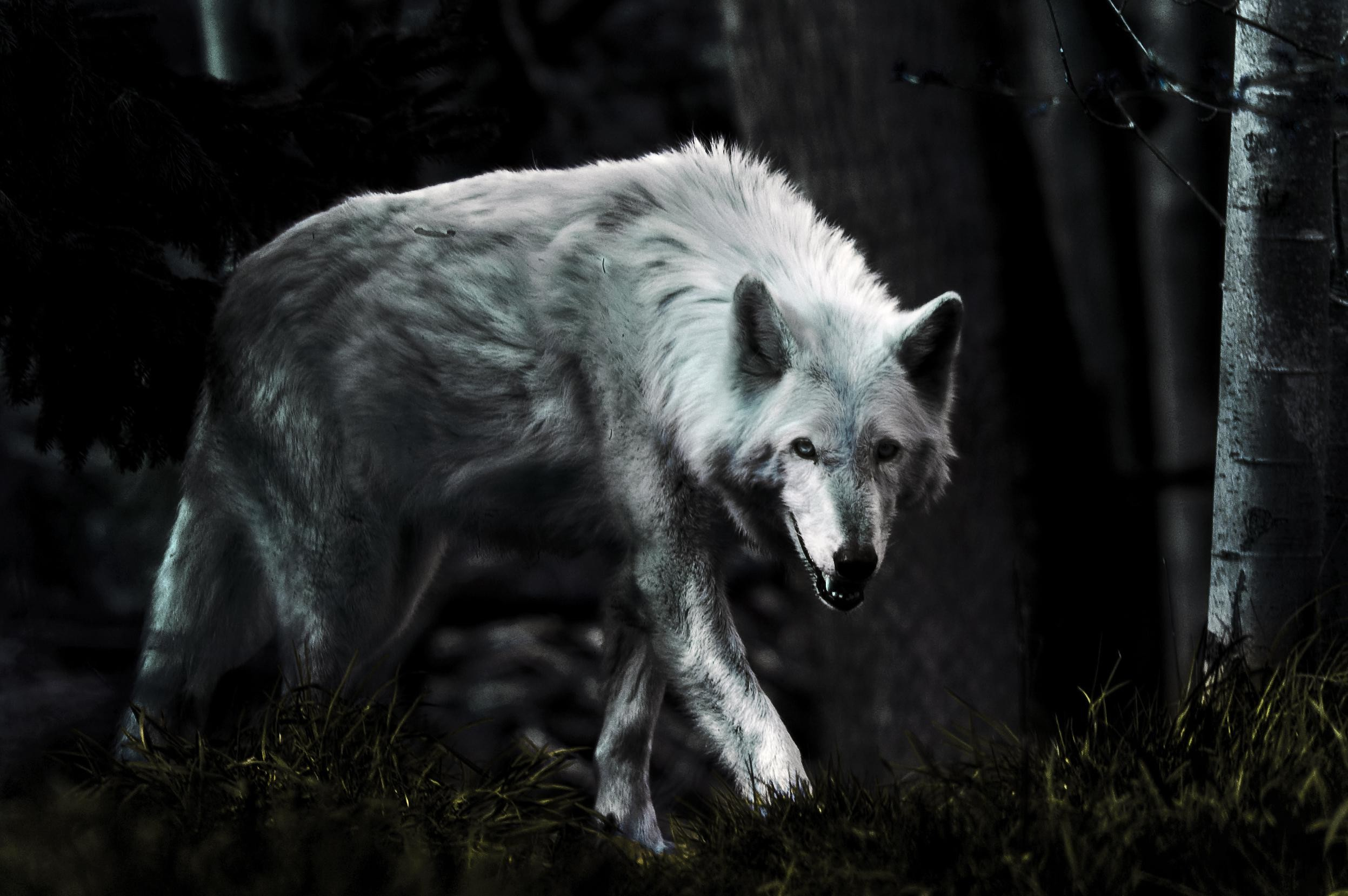 White Wolf wallpaper mobile