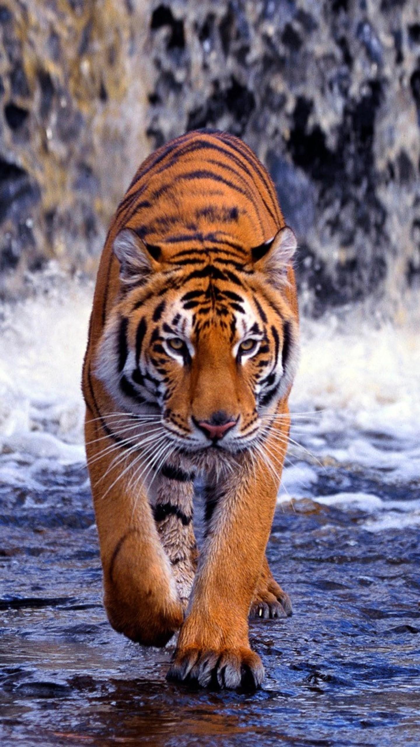 Wallpaper tiger, waterfall, walk, thin, …