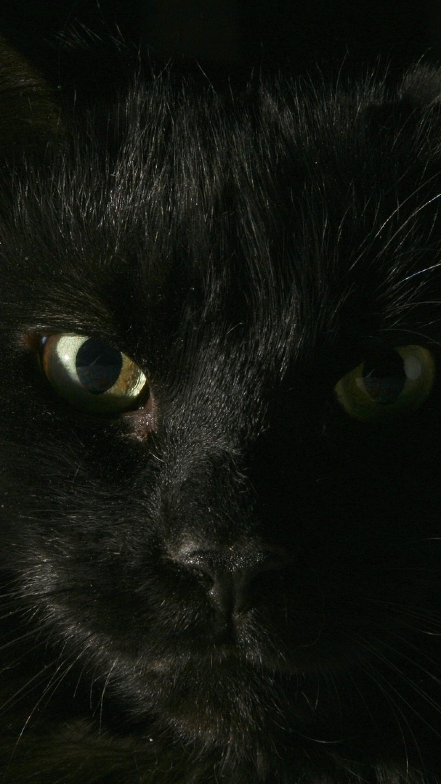 Wallpaper black, cat, face, fat, look