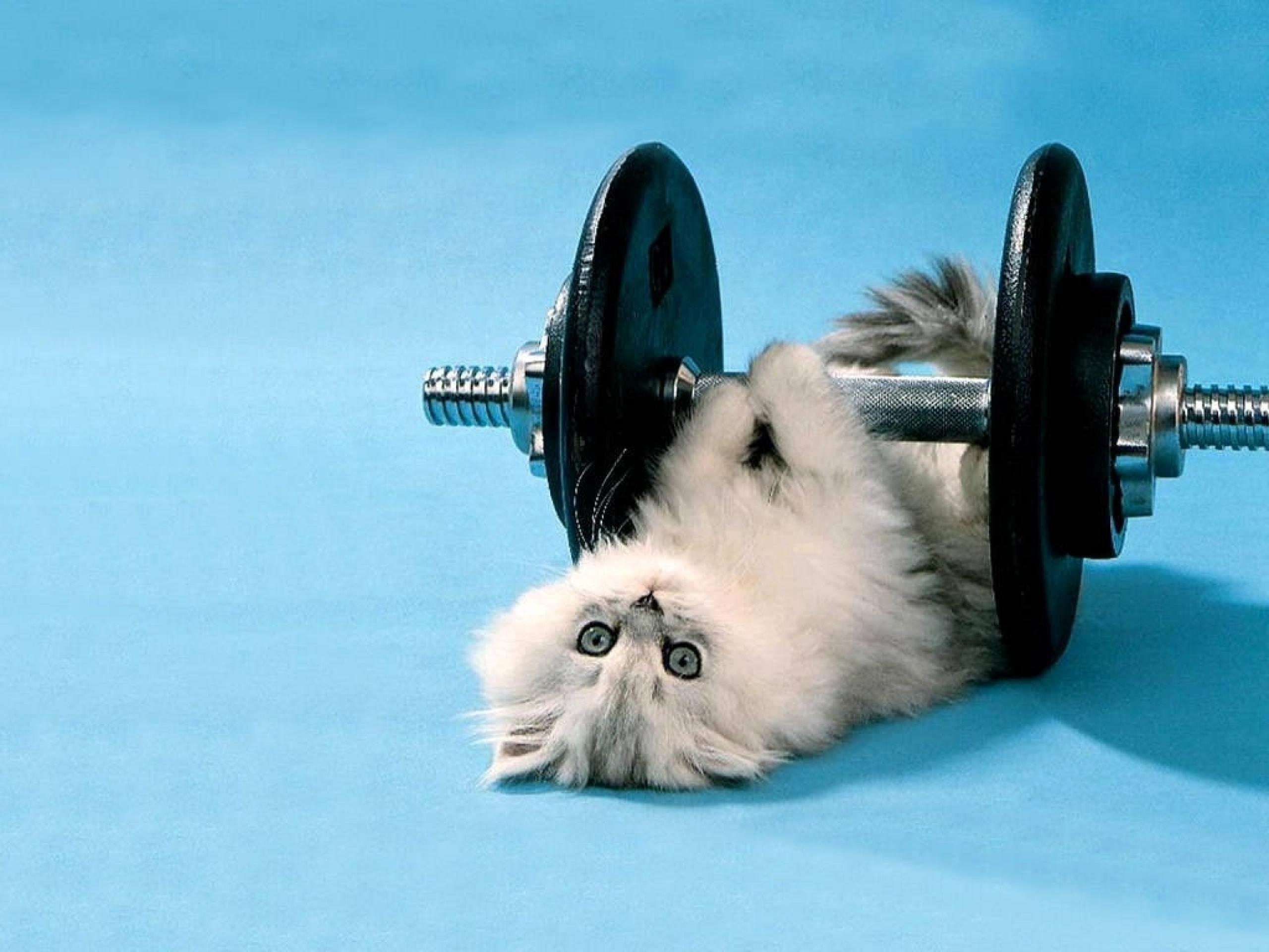 funny kitten lifting weights wallpaper thumb