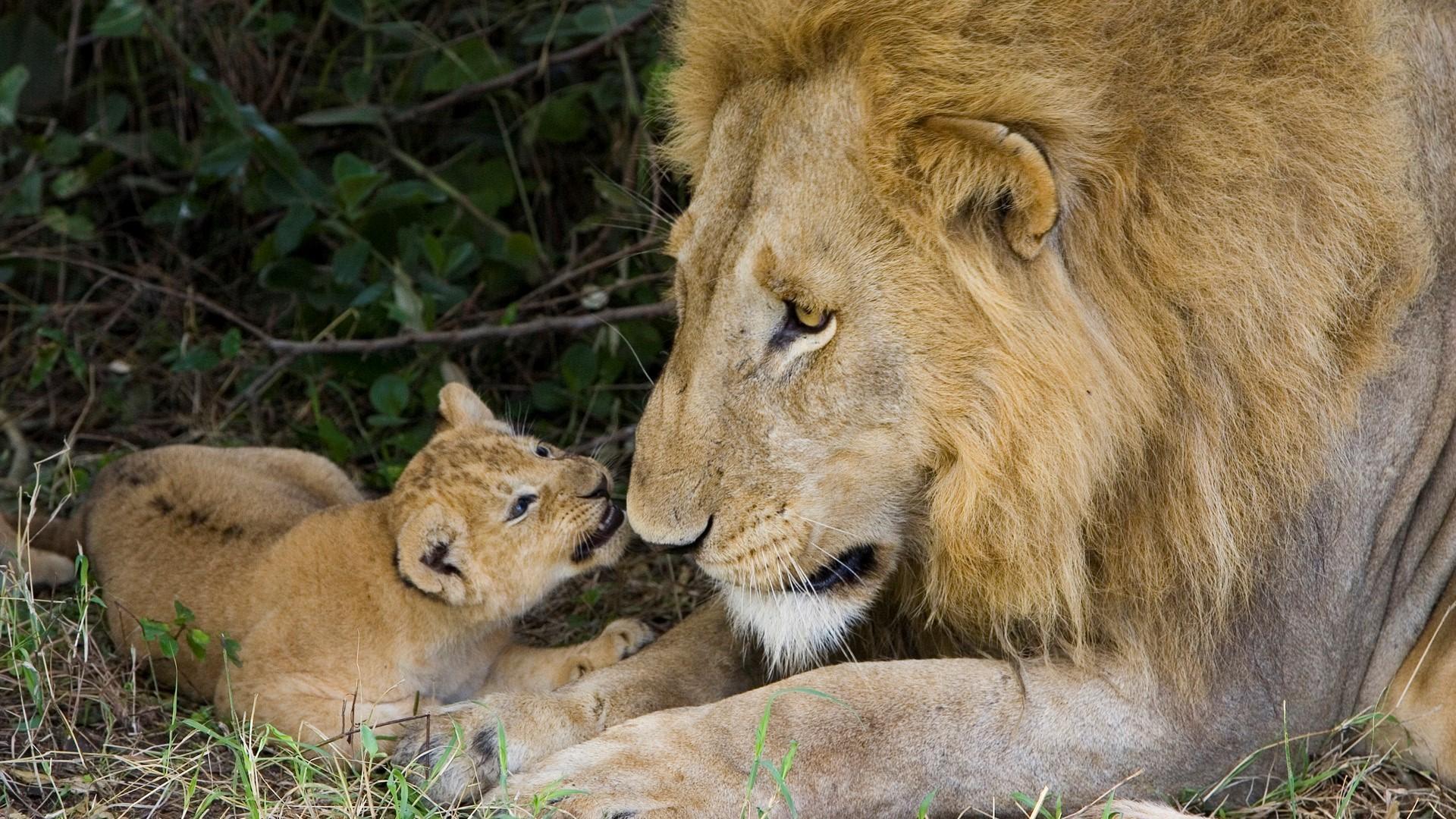Lion Cubs Wallpaper Hd