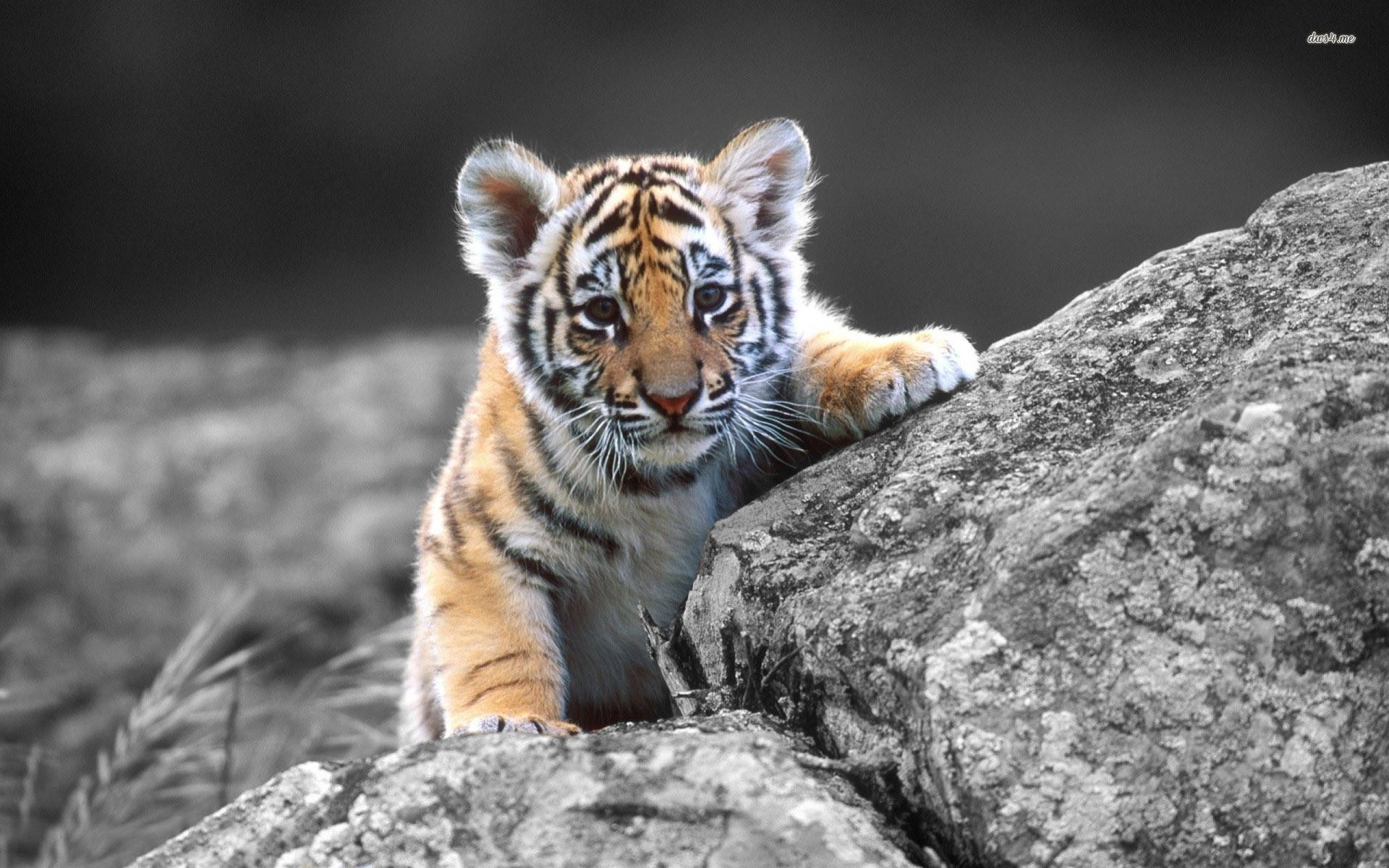 Aquarium Screensaver Free Download For Mac : Tiger mac wallpaper free  download