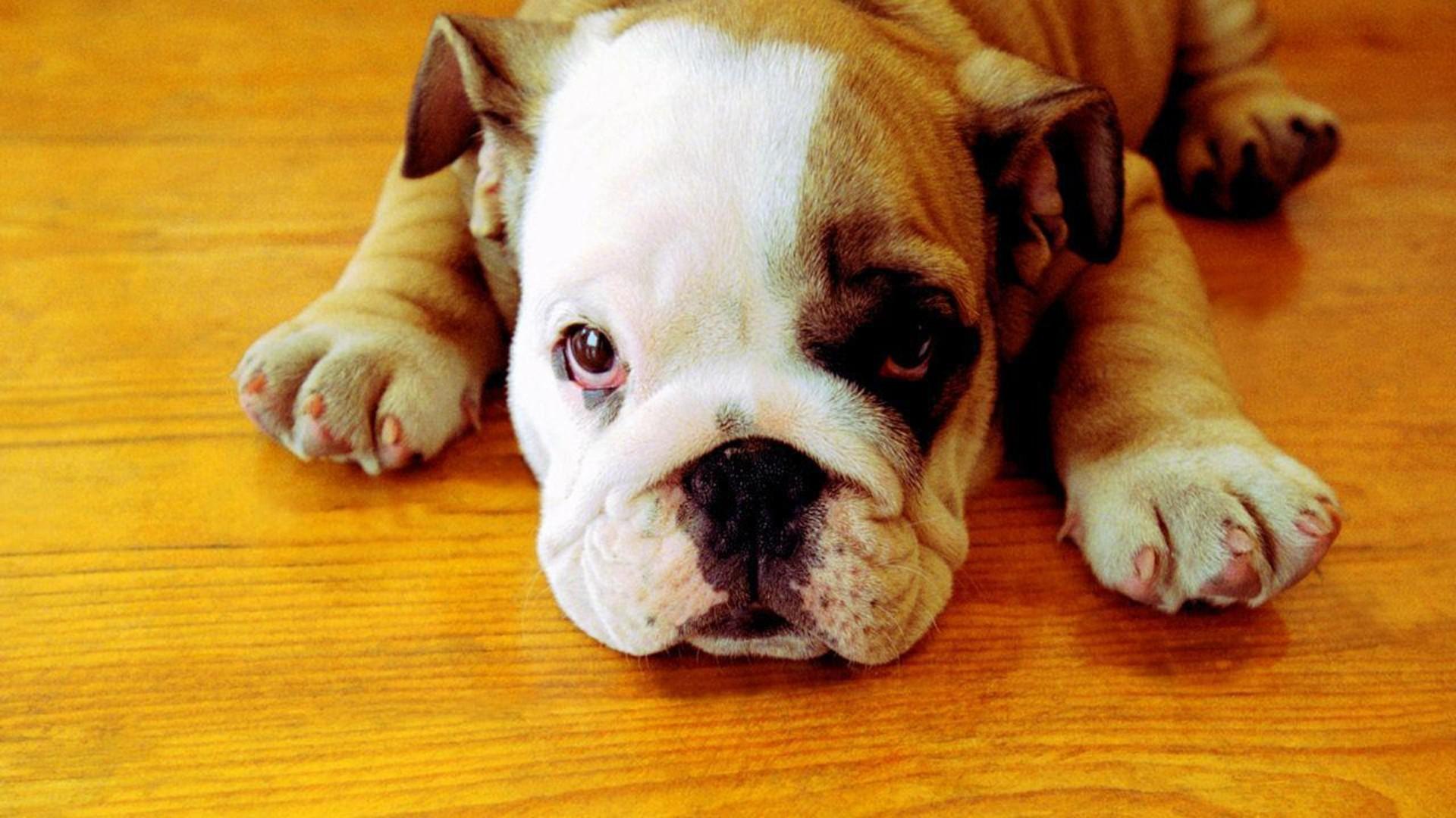 Bulldog-Puppies-Wallpaper-1
