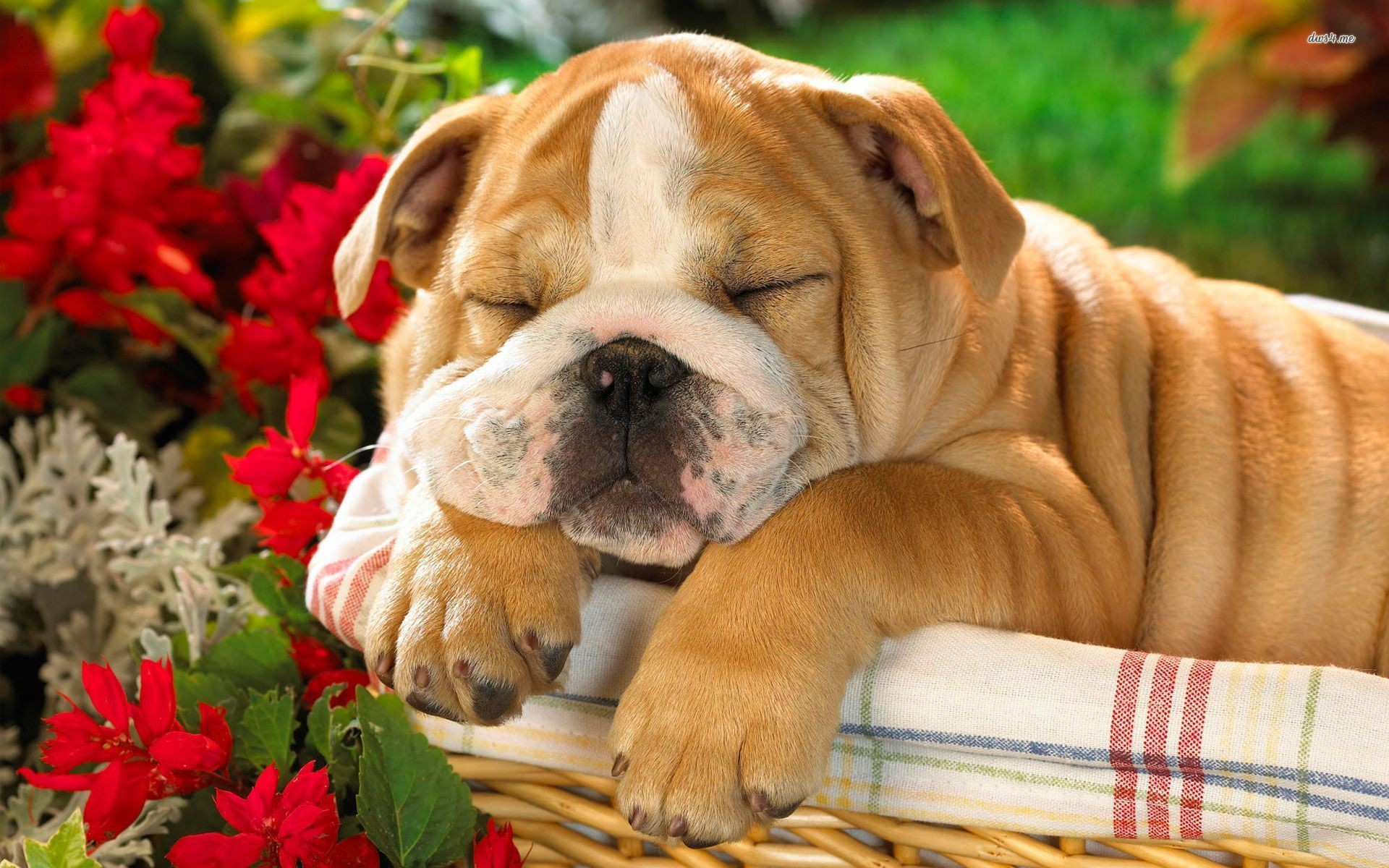Cute Puppy of Bulldog HD Wallpaper | HD Wallpapers Pictures .