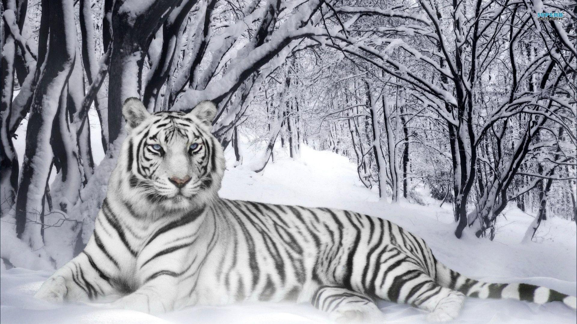 Siberian Tiger Wallpapers – Wallpaper Cave