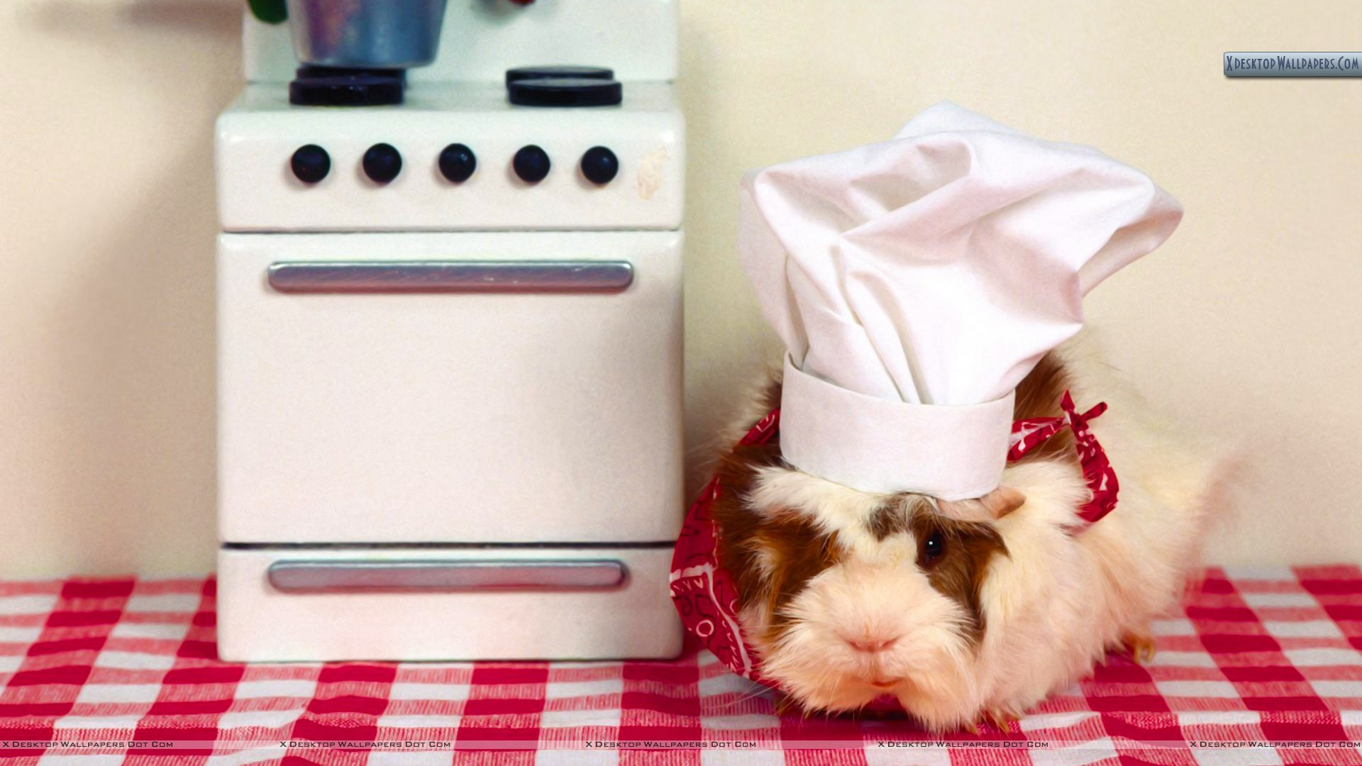 Guinea Pig Wallpaper, Animals: Guinea Pig, champion pig, white Pictures Of  Guinea Pigs Wallpapers Wallpapers)
