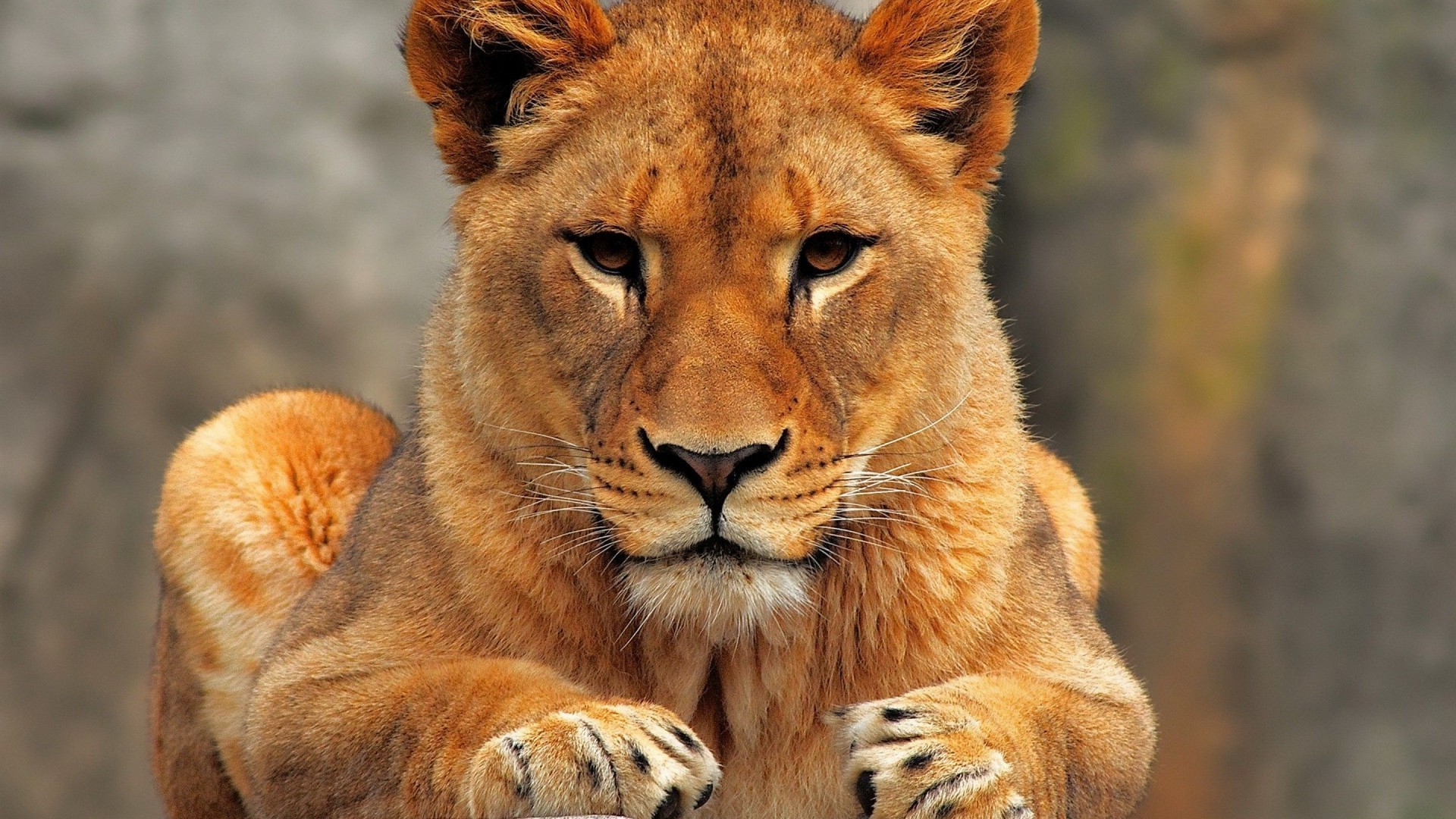 Close Up Lioness Wallpaper 40730