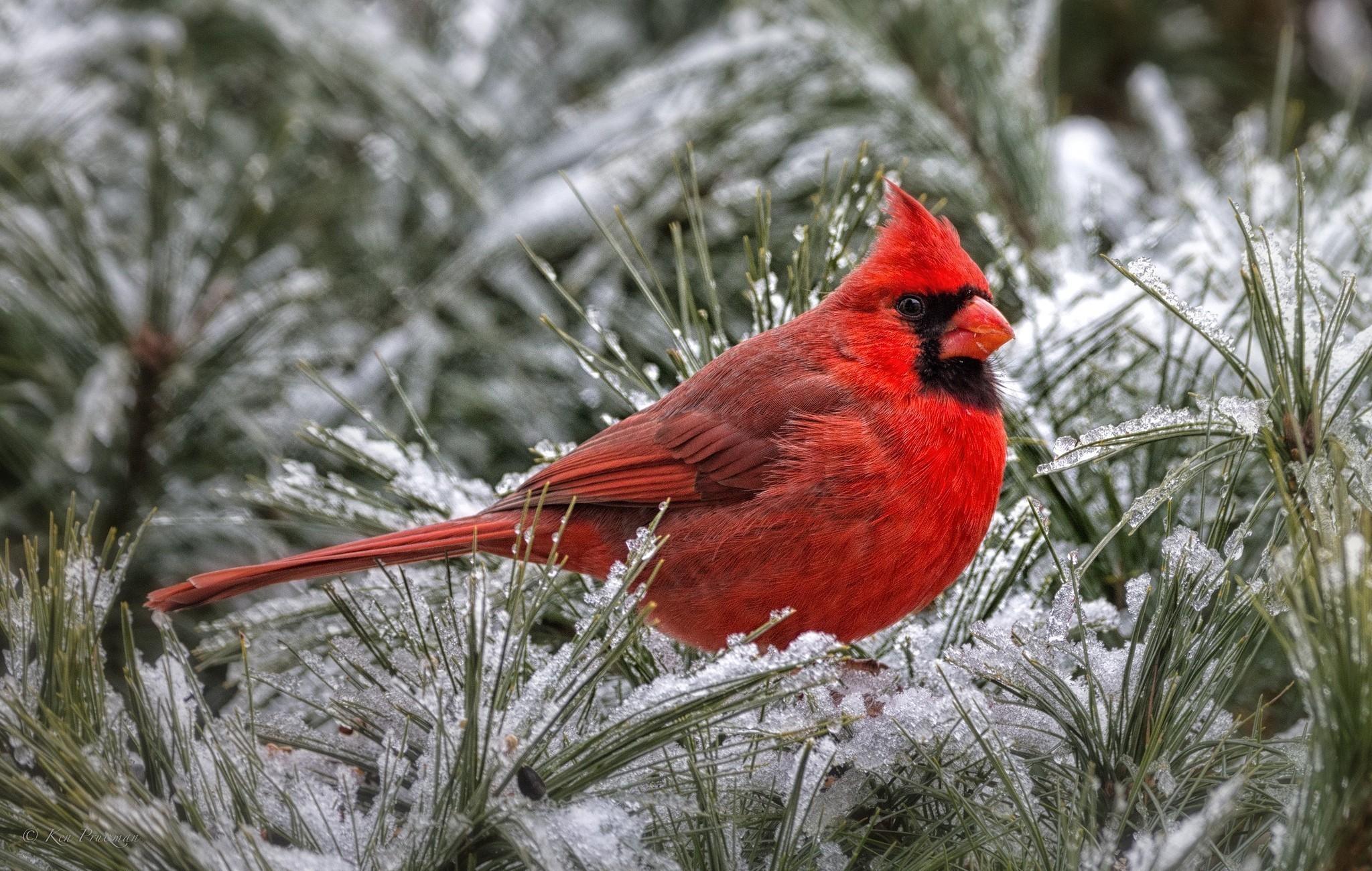 Animal – Cardinal Wallpaper