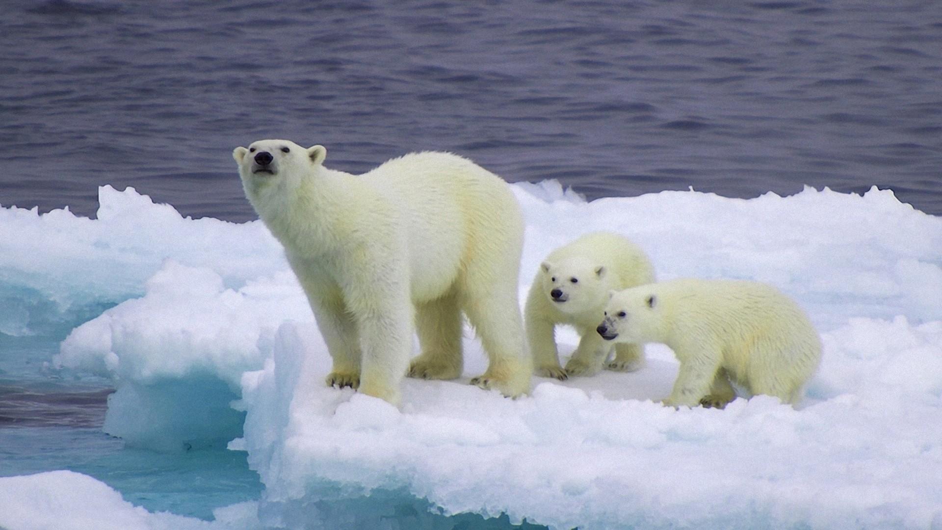 And Cubs On Iceberg wallpaperwallpaper screensaver .
