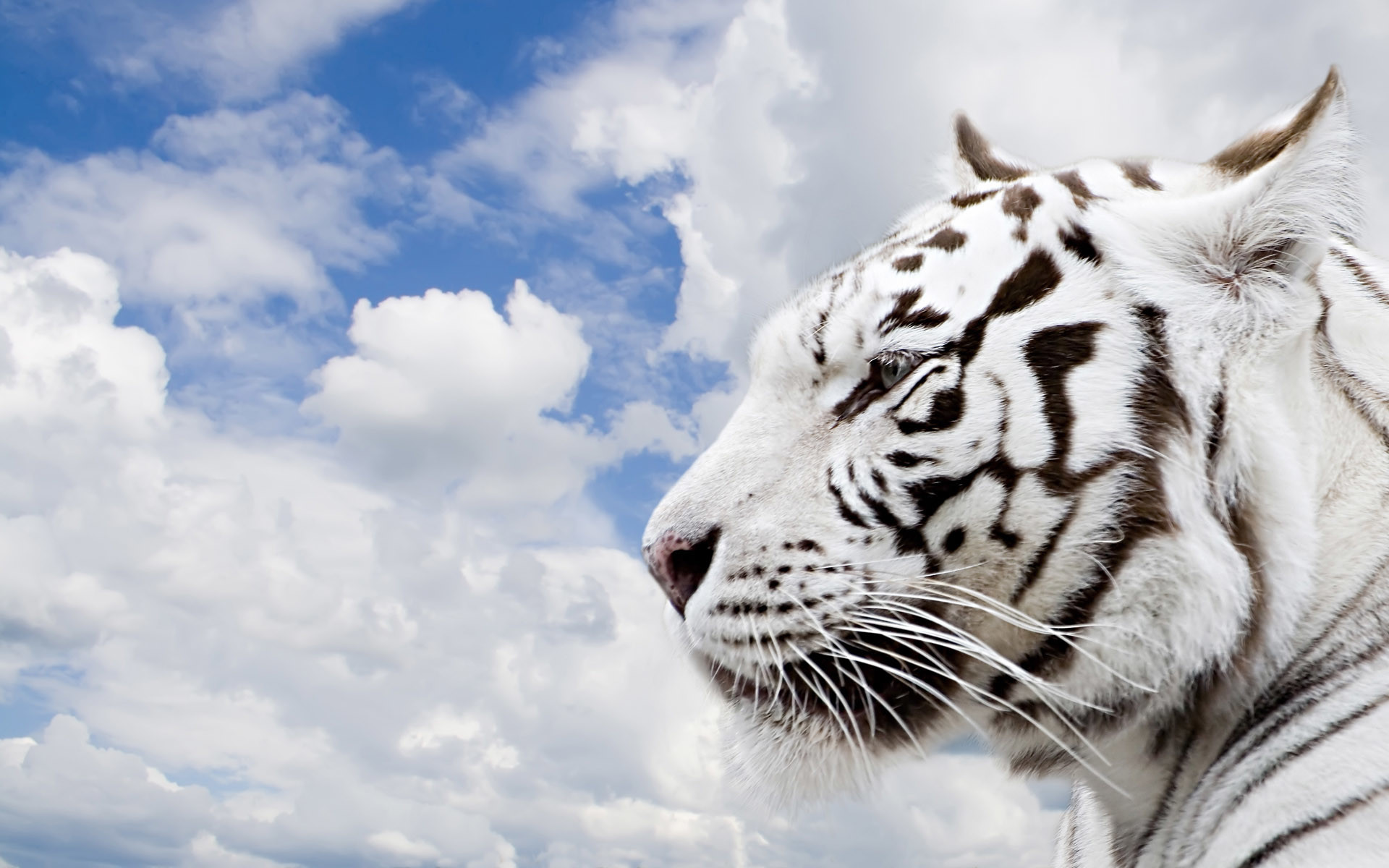 White Bengals Background (55 Wallpapers)