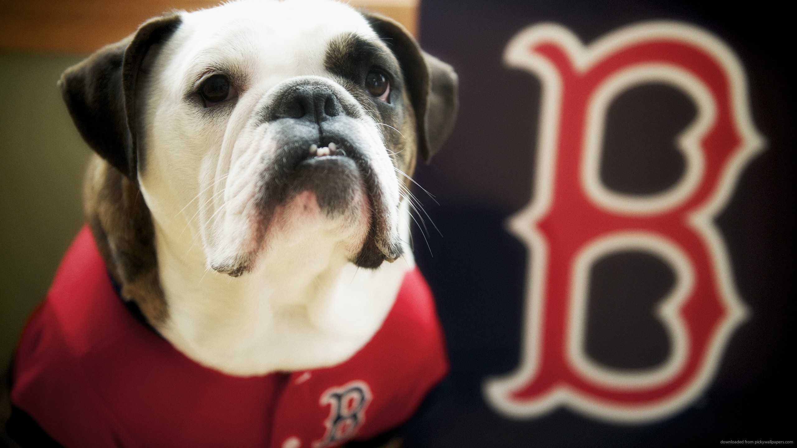Boston Red Sox Dog for 2560×1440