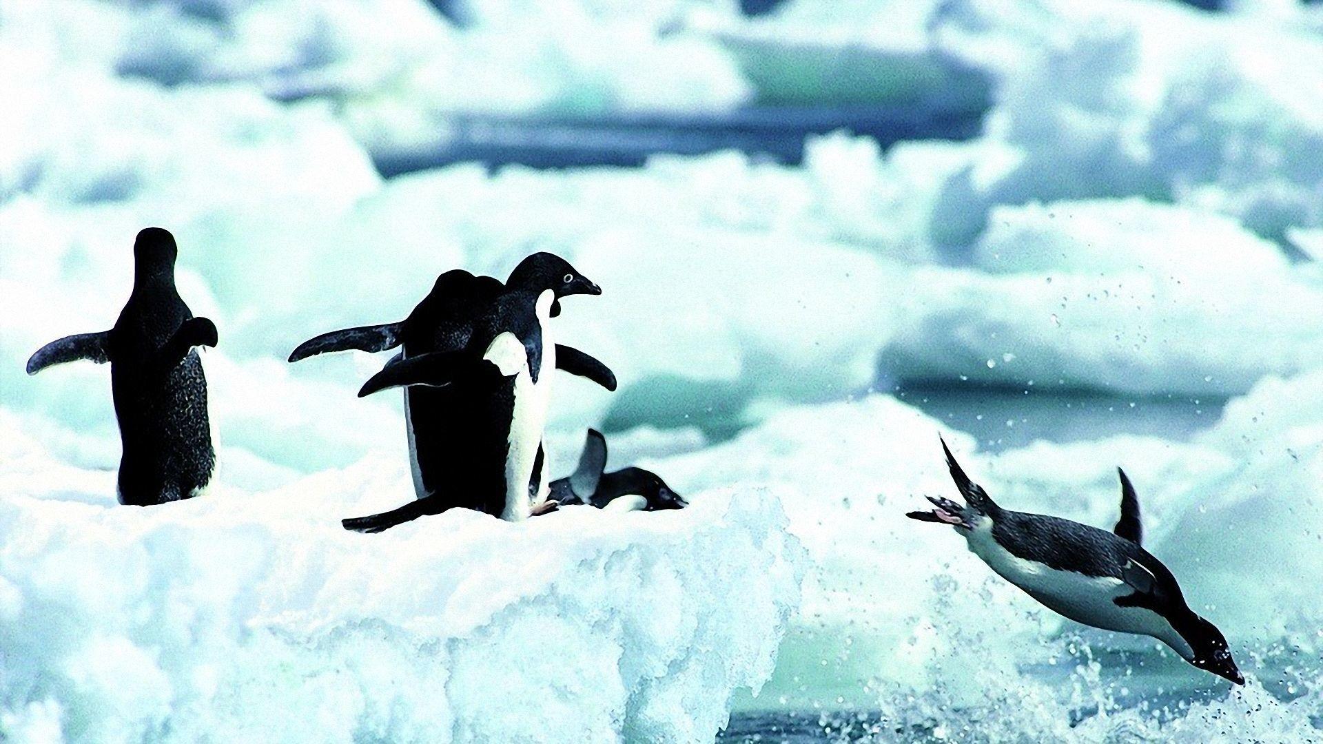 Penguin Wallpaper Wallpapers,Penguin Wallpapers .
