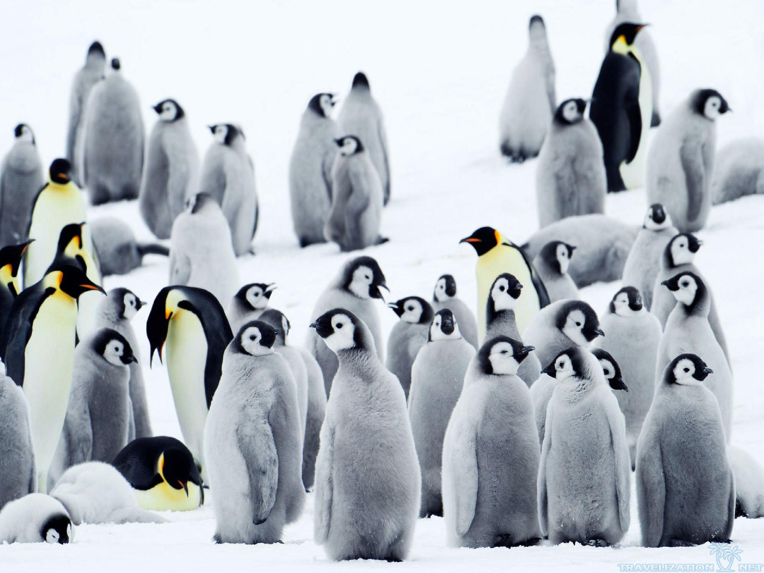 Free Penguin wallpaper x
