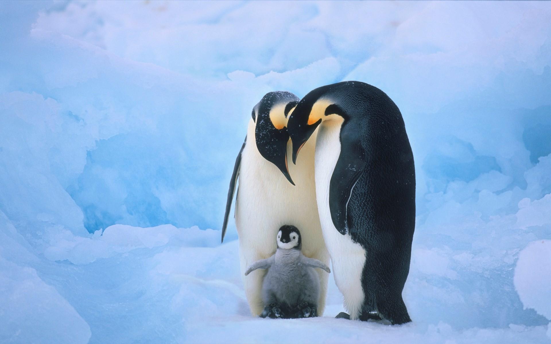 birds animals jumping penguins gentoo water | ololoshenka | Pinterest |  Penguins, Bird and Wallpaper