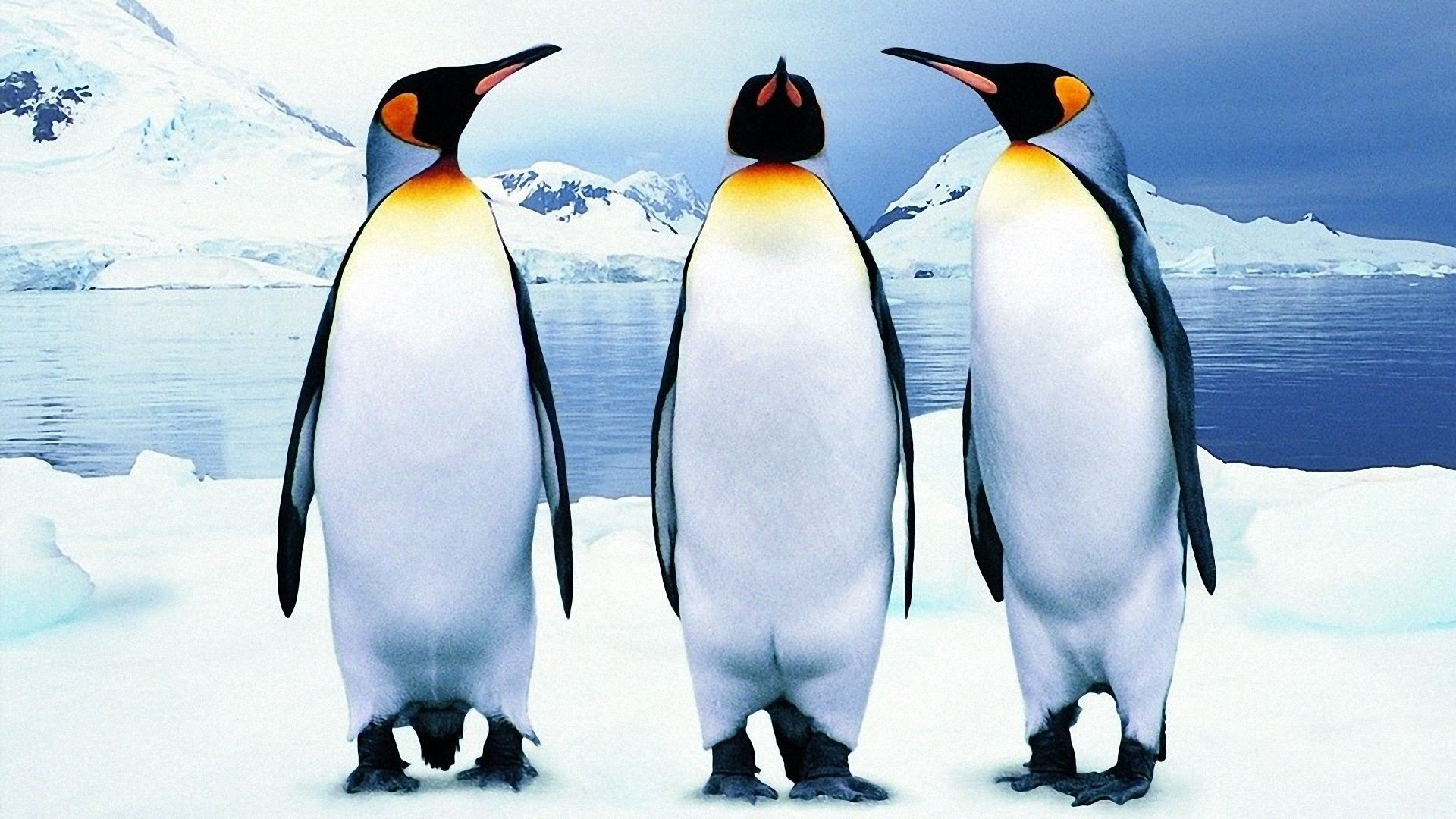 Three Penguin Wallpapers,Penguin Wallpapers Wallpaper Res: Added on ,  Tagged : at Wallpapers Website