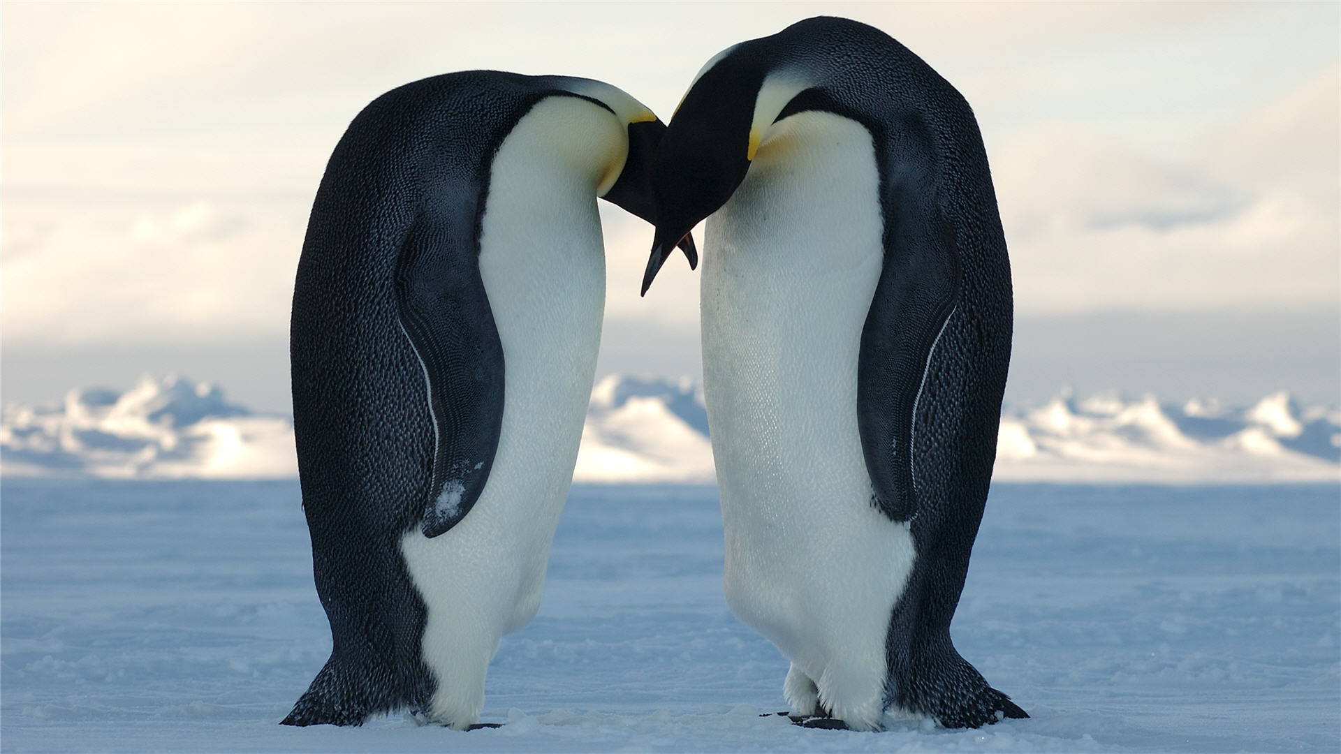 images about iPhone wallpaper Penguin on Pinterest iPhone 1200×797 Baby Penguin  Wallpapers (58