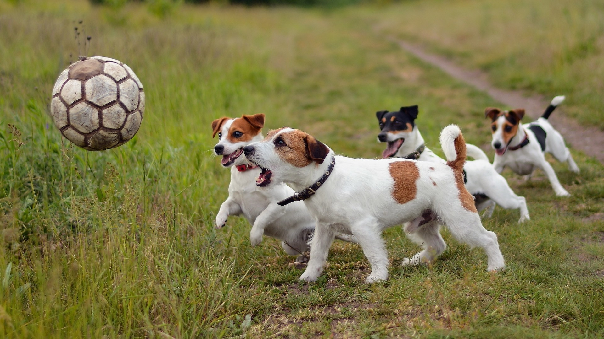 dog, Soccer Ball, Animals, Jack Russell Terrier Wallpapers HD / Desktop and  Mobile Backgrounds