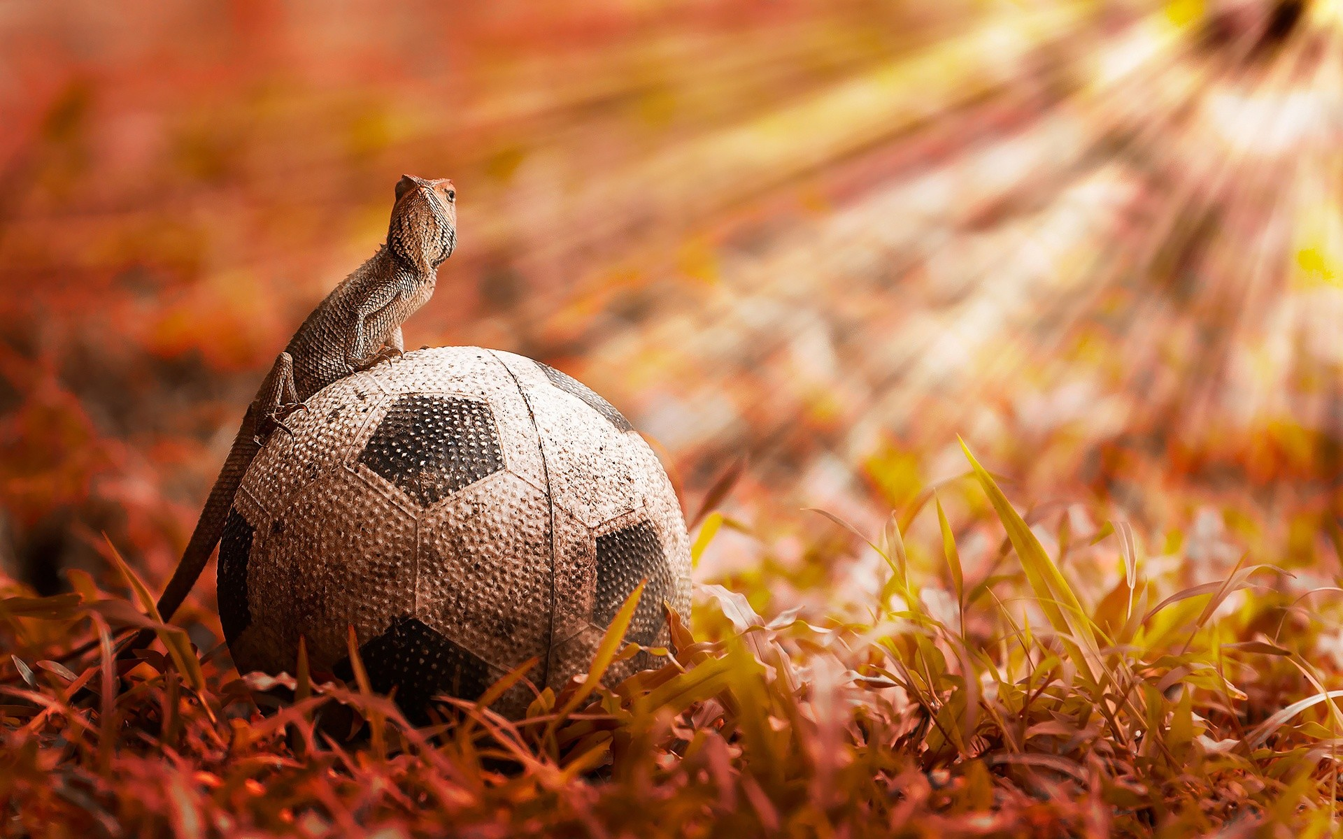 Download and View Full Size Photo. This Chameleon Sitting Over Soccer Ball  …