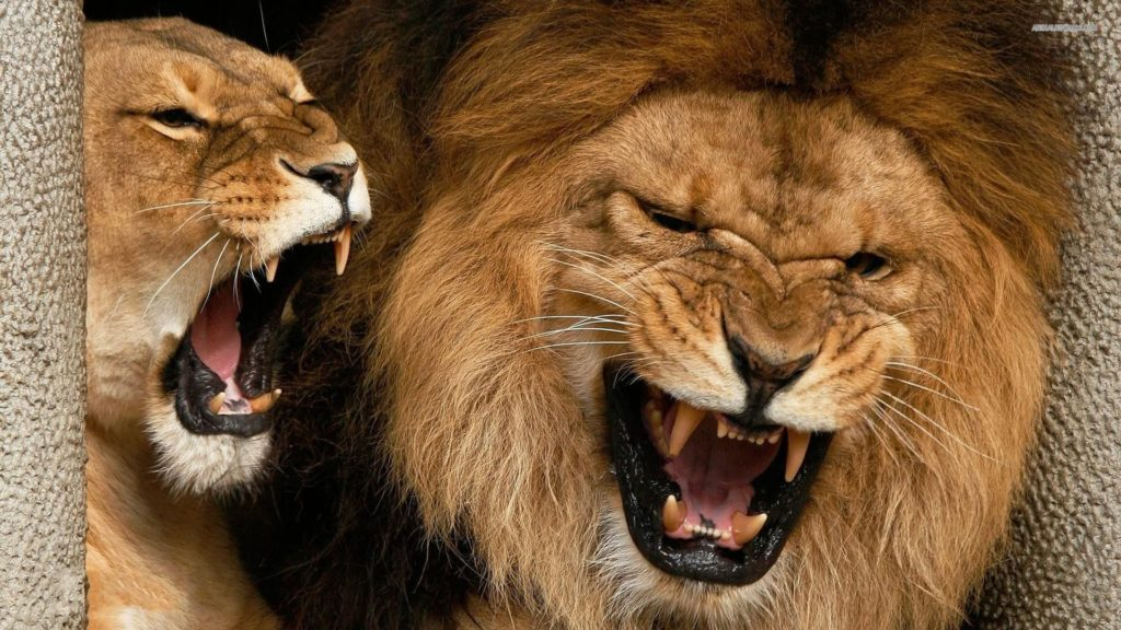 Angry Lions Wallpaper