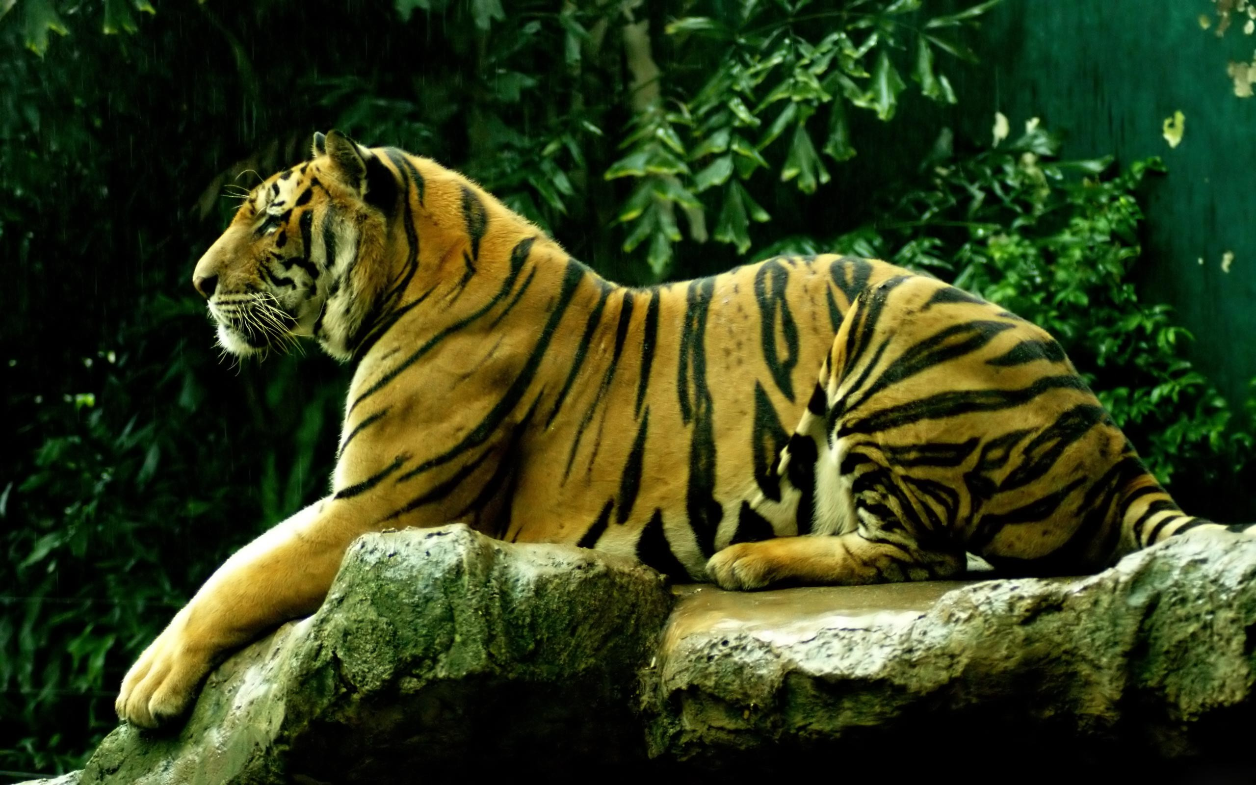 Tiger PC Wallpapers HD Wallpapers Designs of Tigers,Cheetahs,Leopards for  desktop and PC background. Free Tiger wallpapers and Tiger backgrounds for  your …