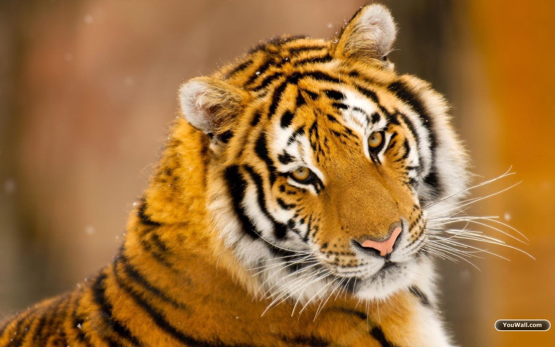 YouWall – Wild Tiger Wallpaper – wallpaper,wallpapers,free wallpaper .