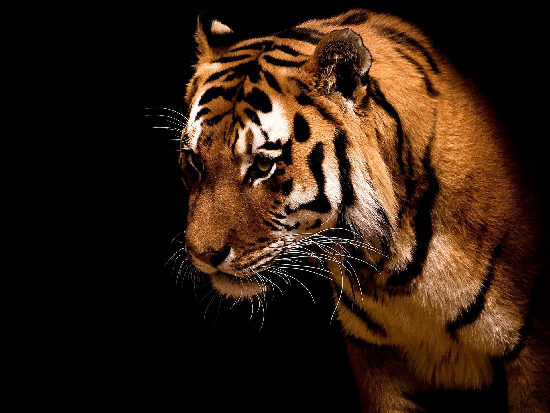 Tiger Big cat hd Wallpaper   High Quality Wallpapers,Wallpaper Desktop .