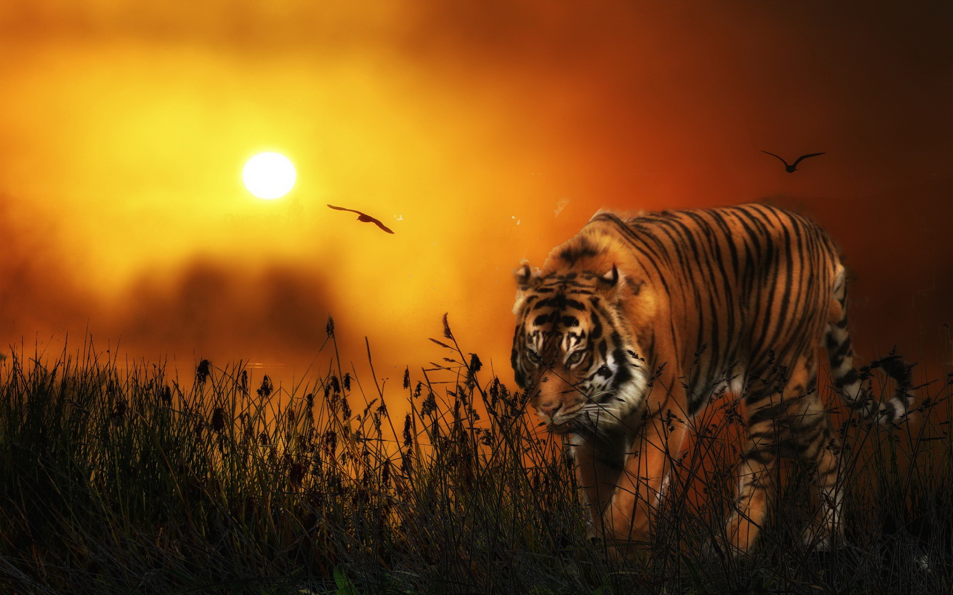 d Animated Tiger Wallpapers d wallpaper HD 1366×768 Tiger Picture Wallpapers  (33 Wallpapers