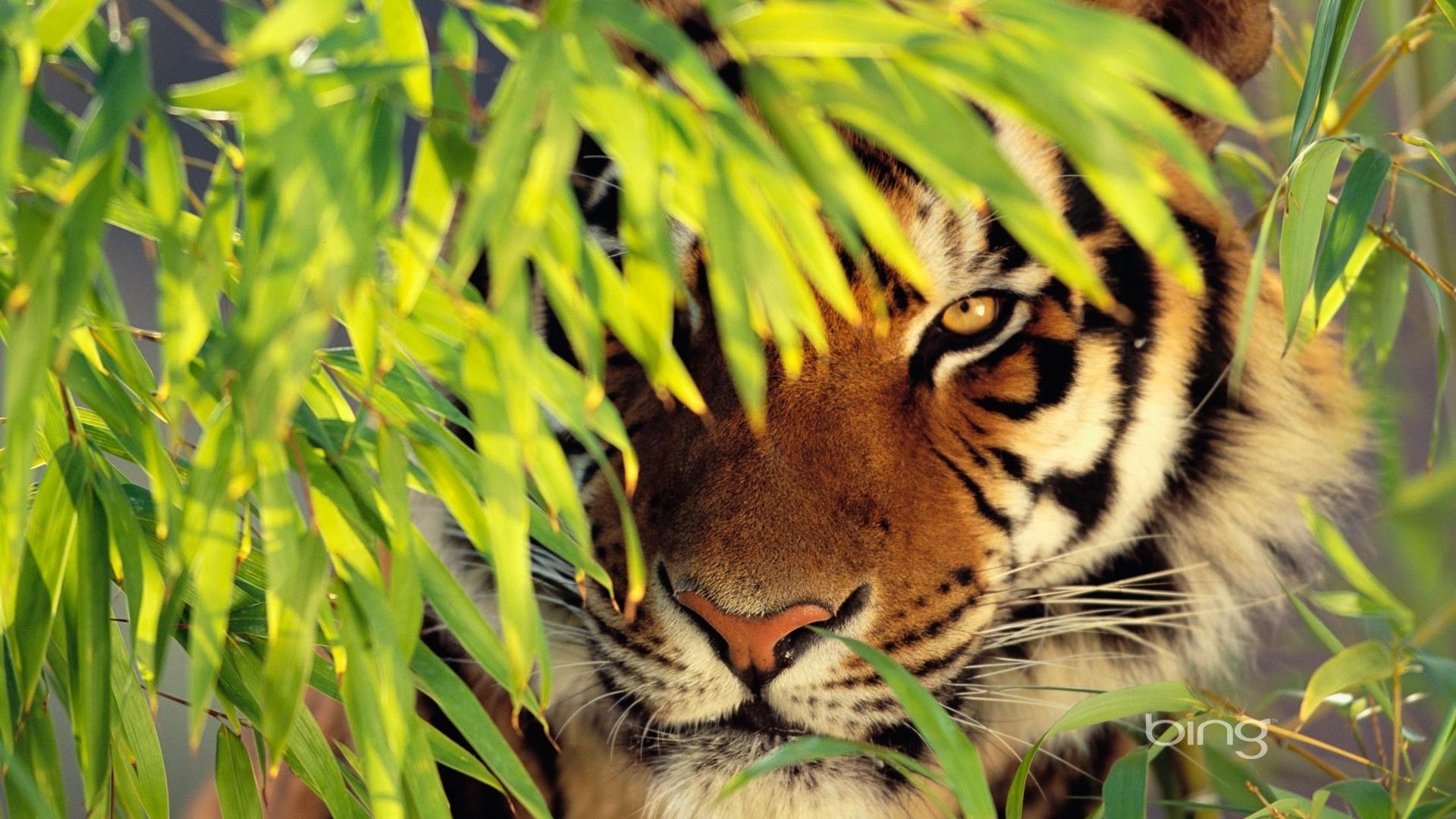 Tiger Wallpaper HD 1080p hd background hd screensavers hd wallpaper .