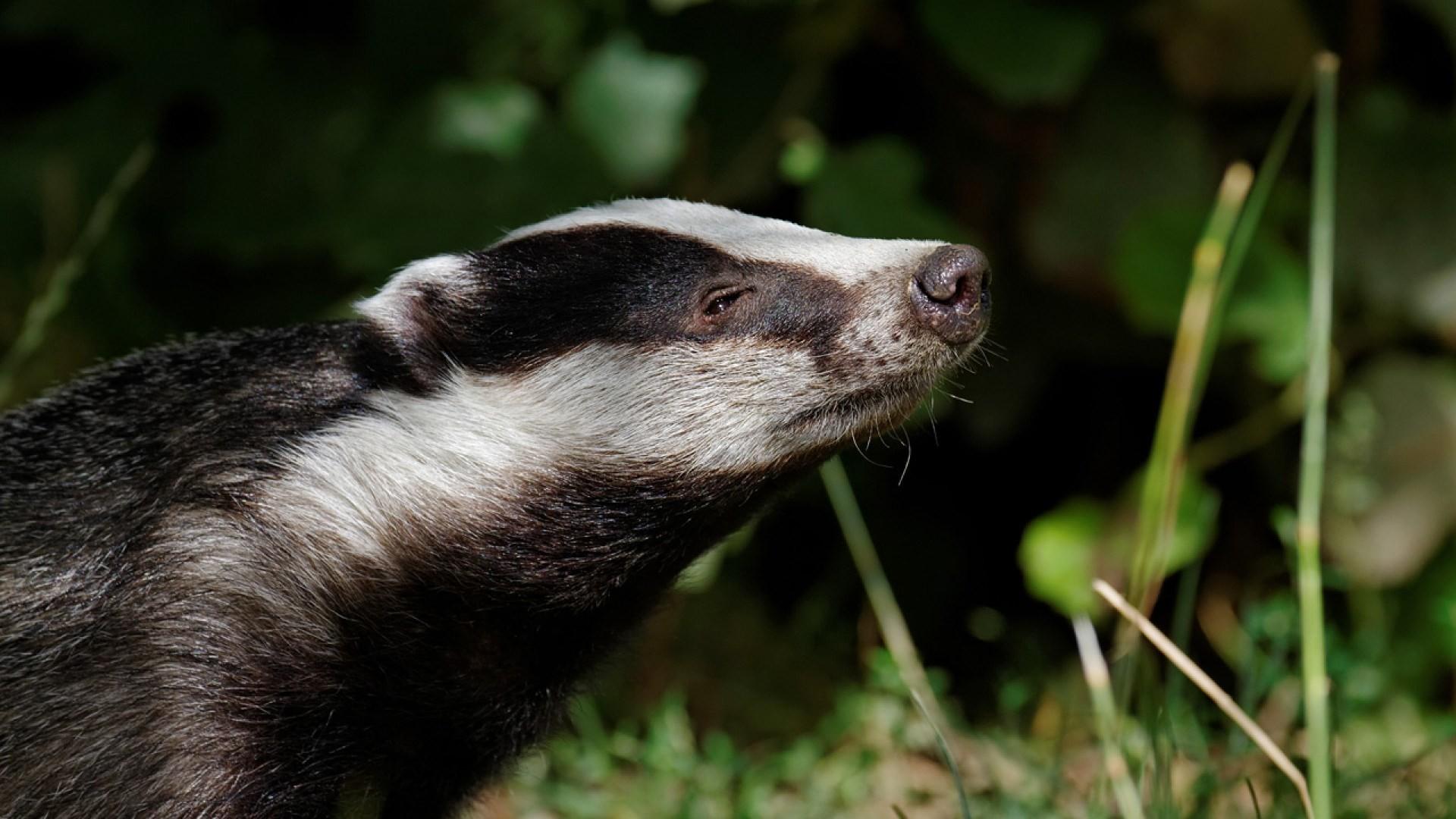 hd badger wallpaper