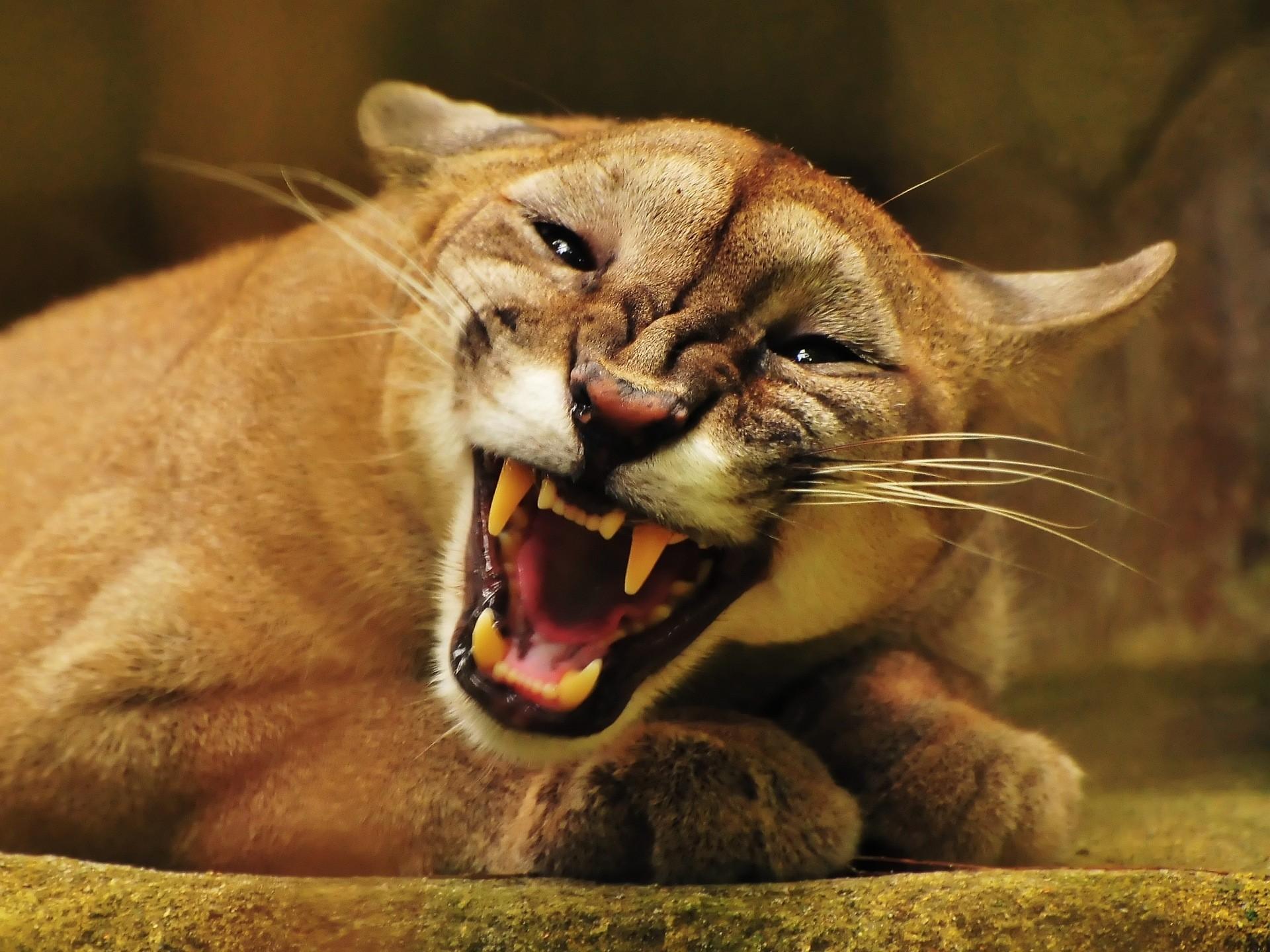 Angry Puma Wallpaper