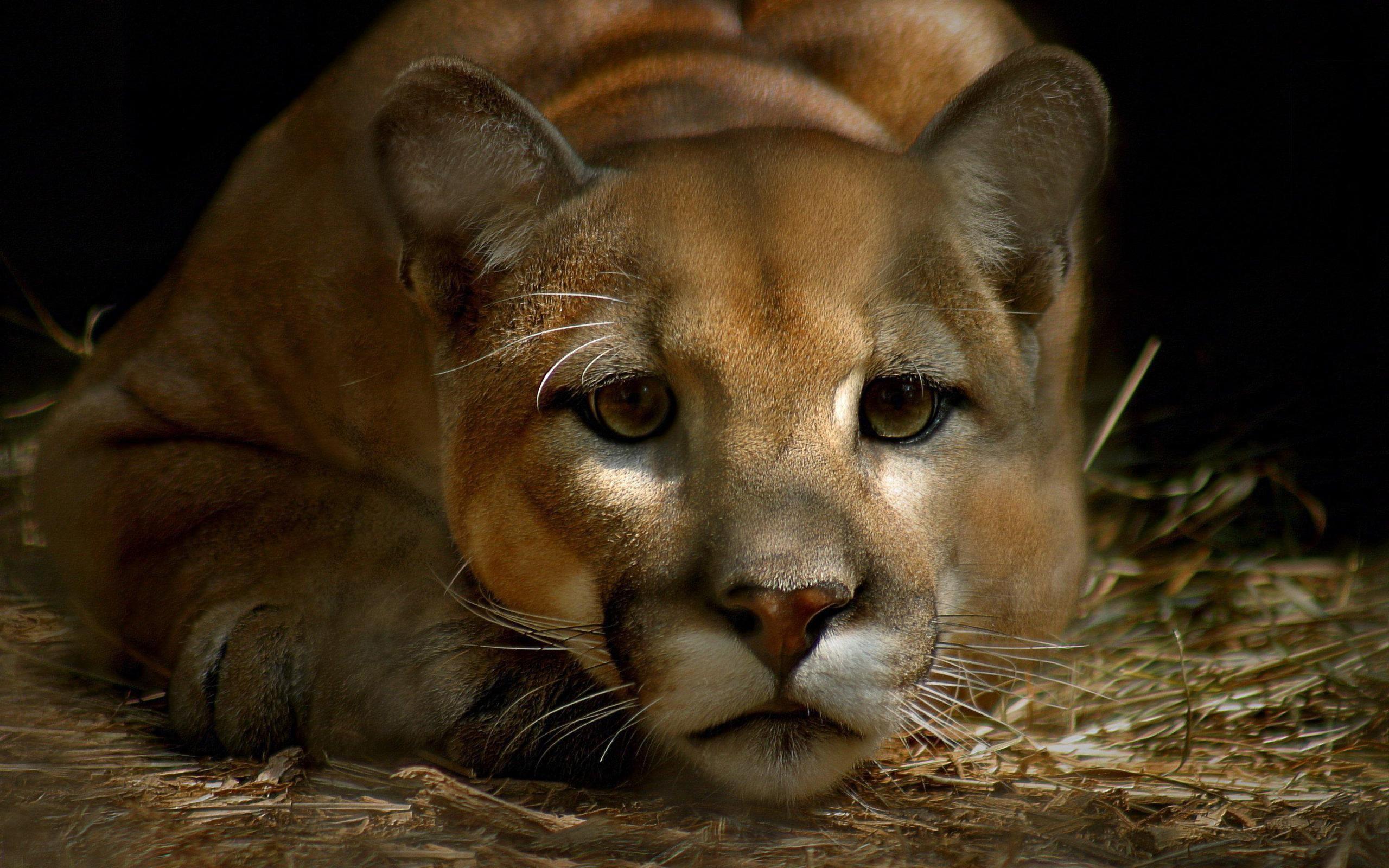 Cute Puma Animals Desktop Hd Iphone Ipad Wallpapers 2560x1600px