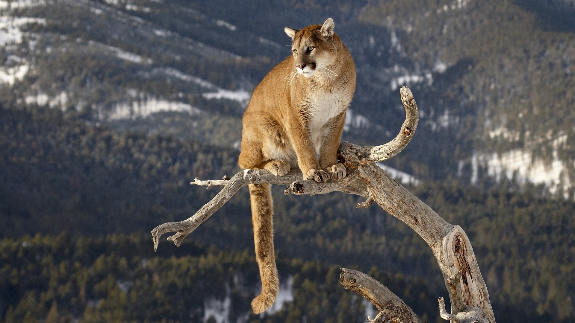 137 Cougar HD Wallpapers