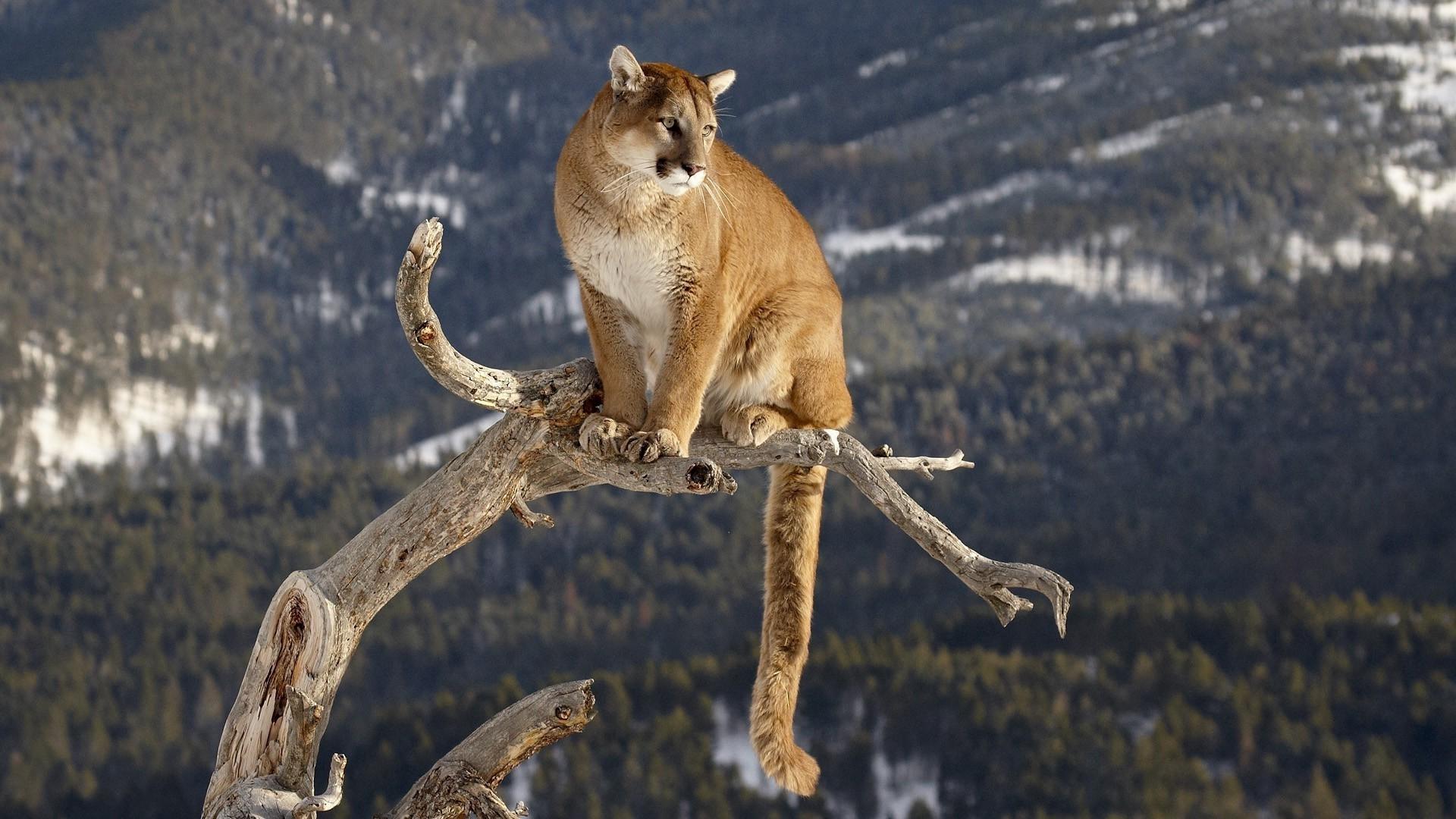 nature, Animals, Pumas Wallpaper HD