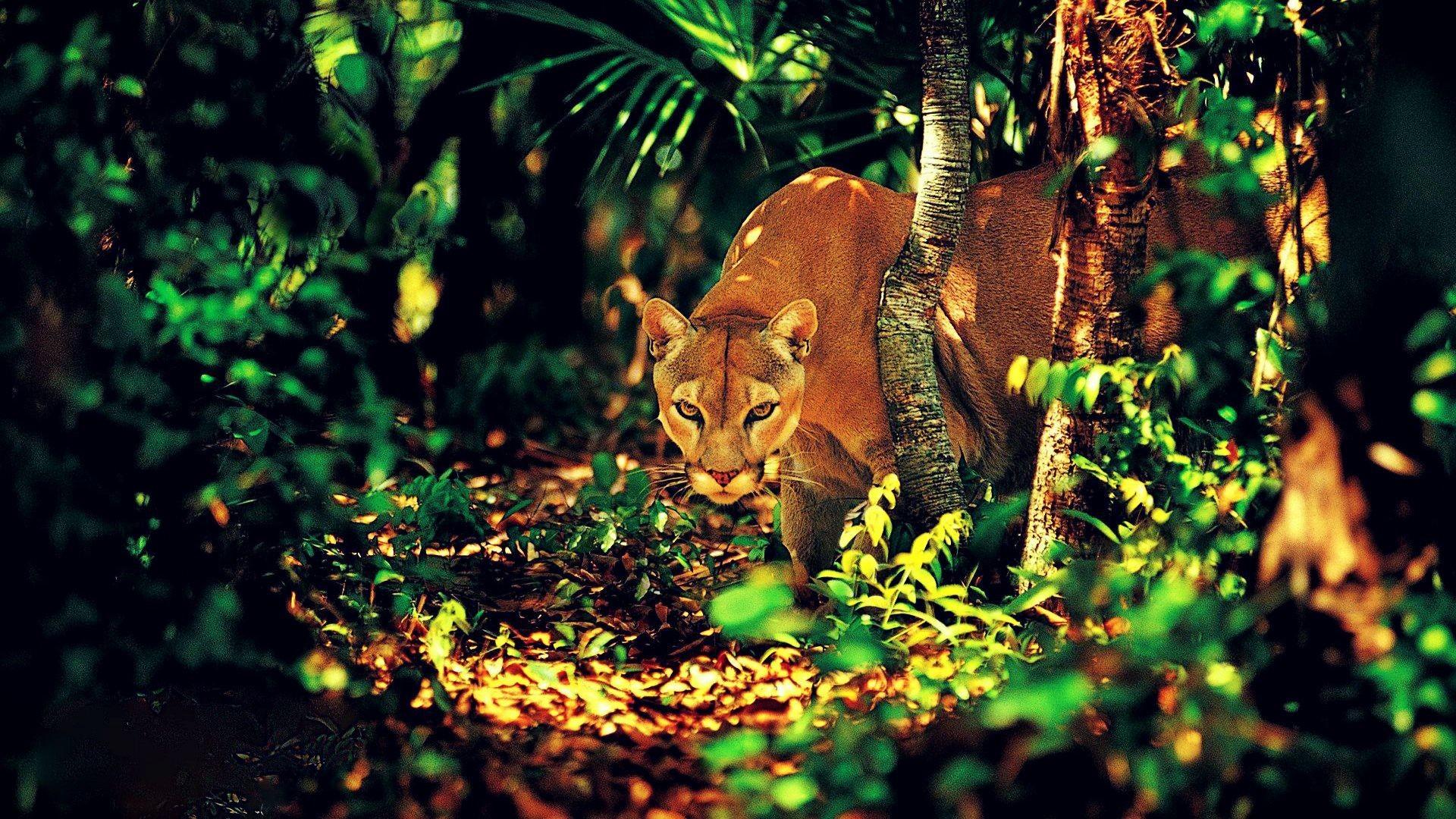 Pumas Jungles