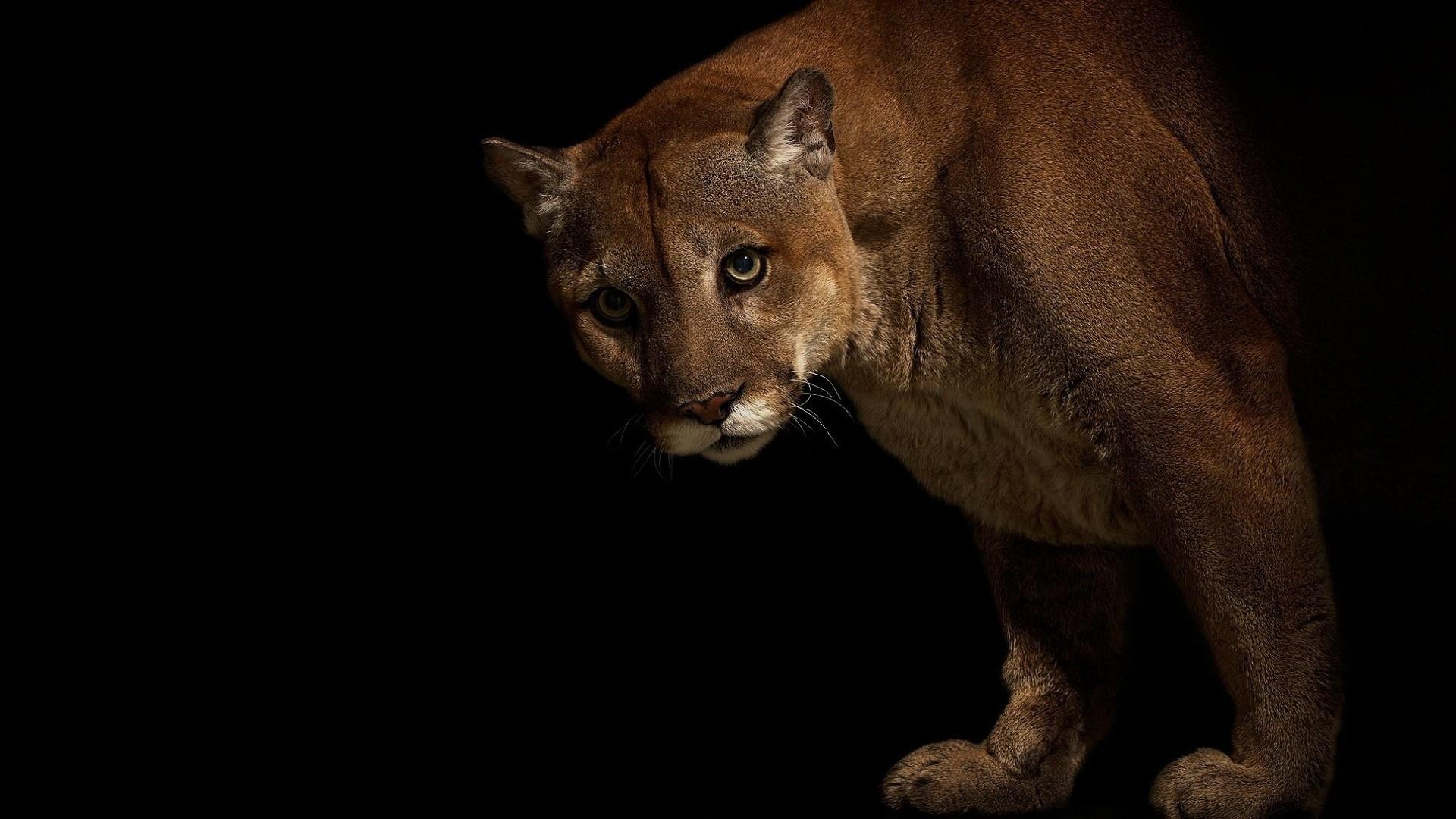 Big cats Pumas Animals cougar wallpaper | | 100493 | WallpaperUP