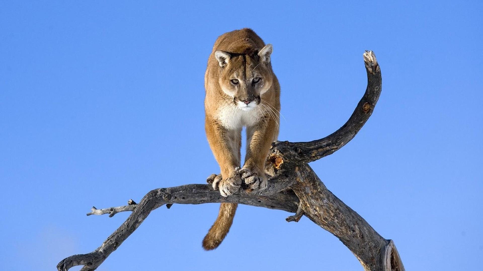 Preview wallpaper puma, branch, sky, predators, big cat 1920×1080