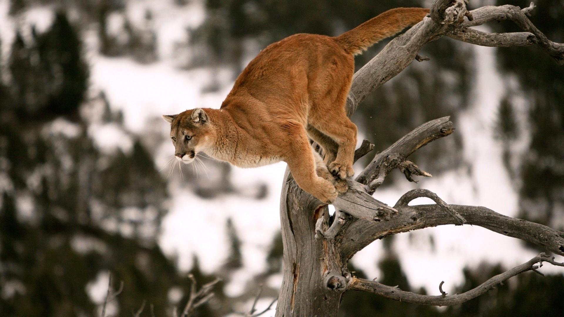 nature, Animals, Wildlife, Pumas Wallpaper HD