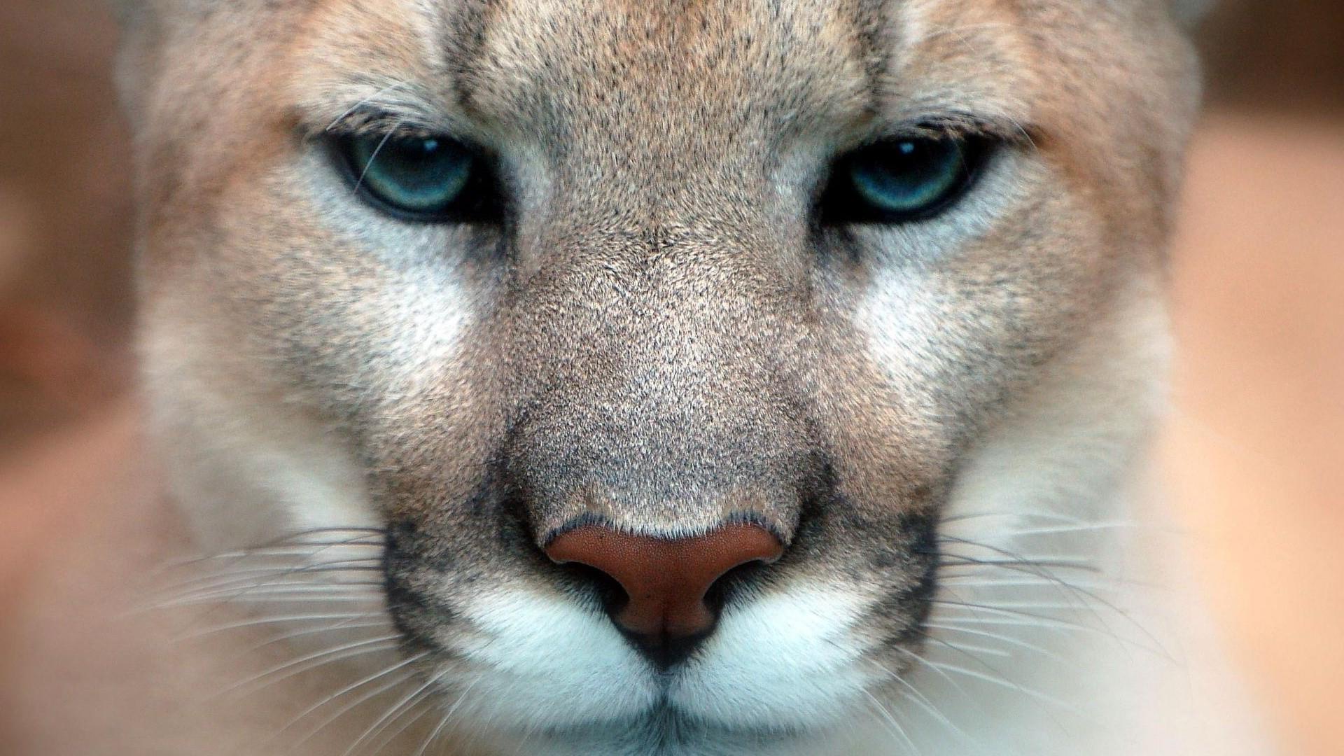 animals, Feline, Nature, Pumas Wallpaper HD