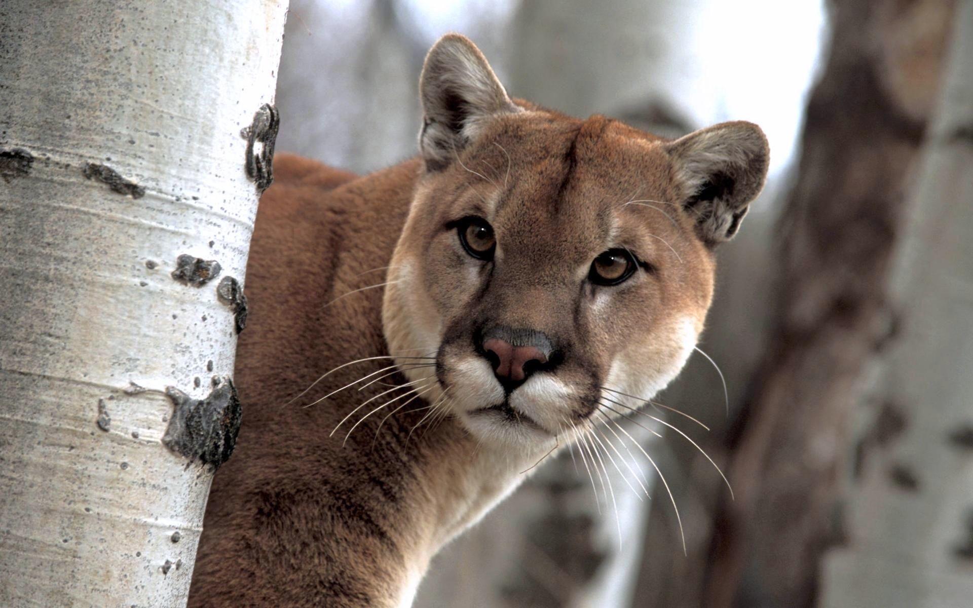 Images Pumas Big cats Animals