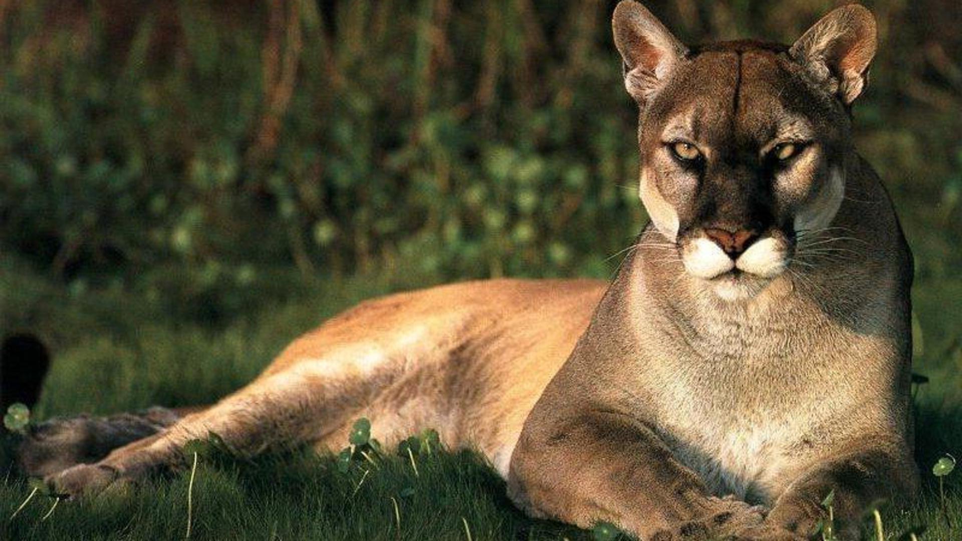animals, Pumas Wallpaper HD