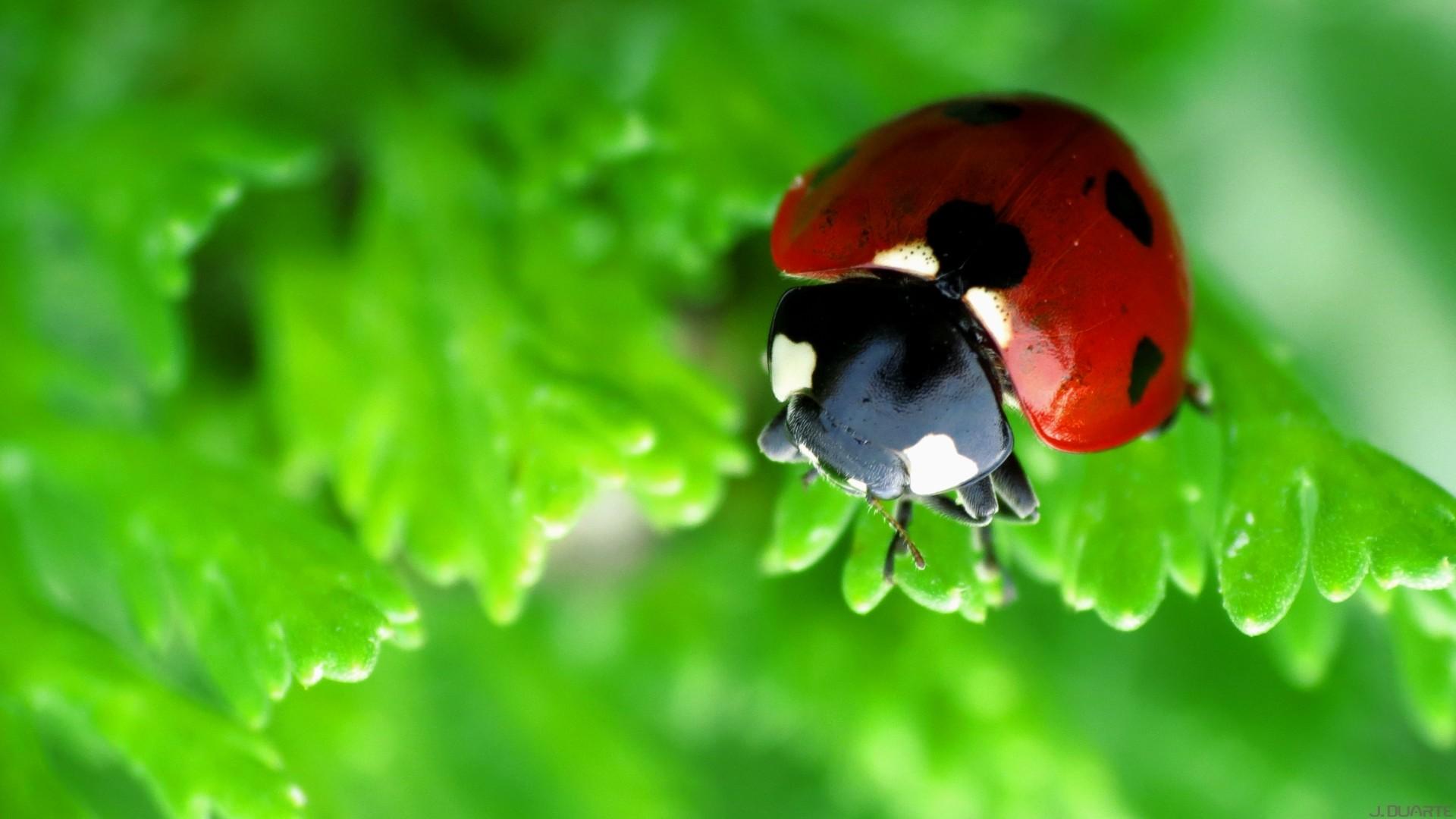 … Ladybug Macro Green wallpaper …