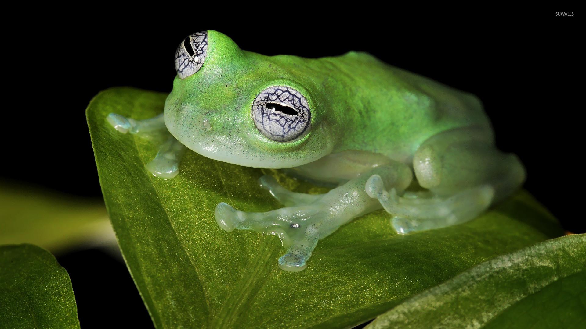 Glass frog wallpaper jpg