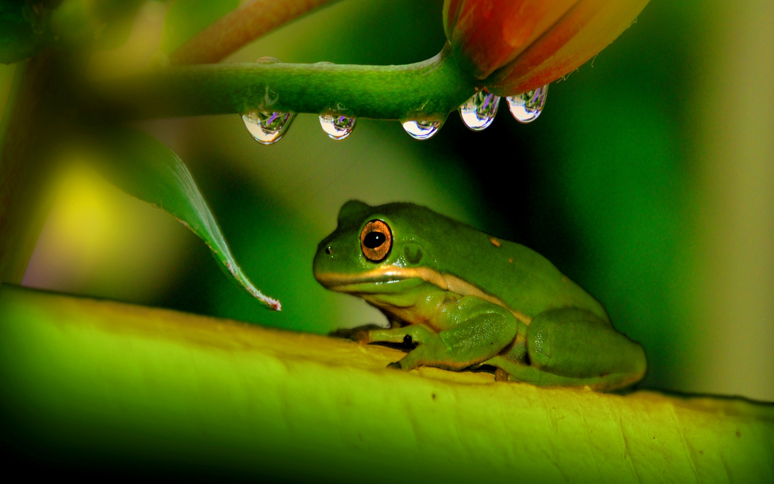 wallpaper images frog by Angelina Williams