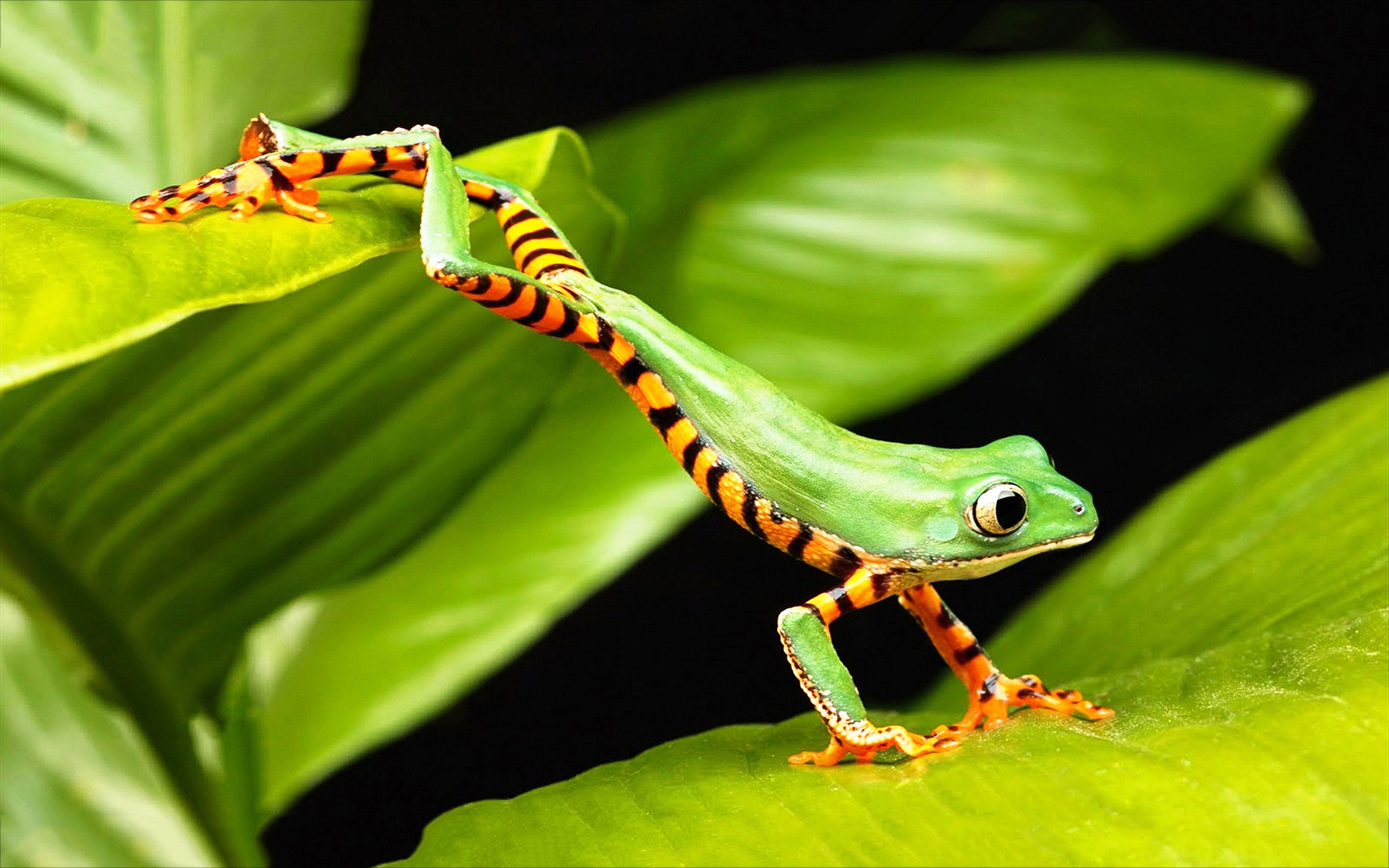 green tree frog leaping Wallpaper | TREE FROG JUMP