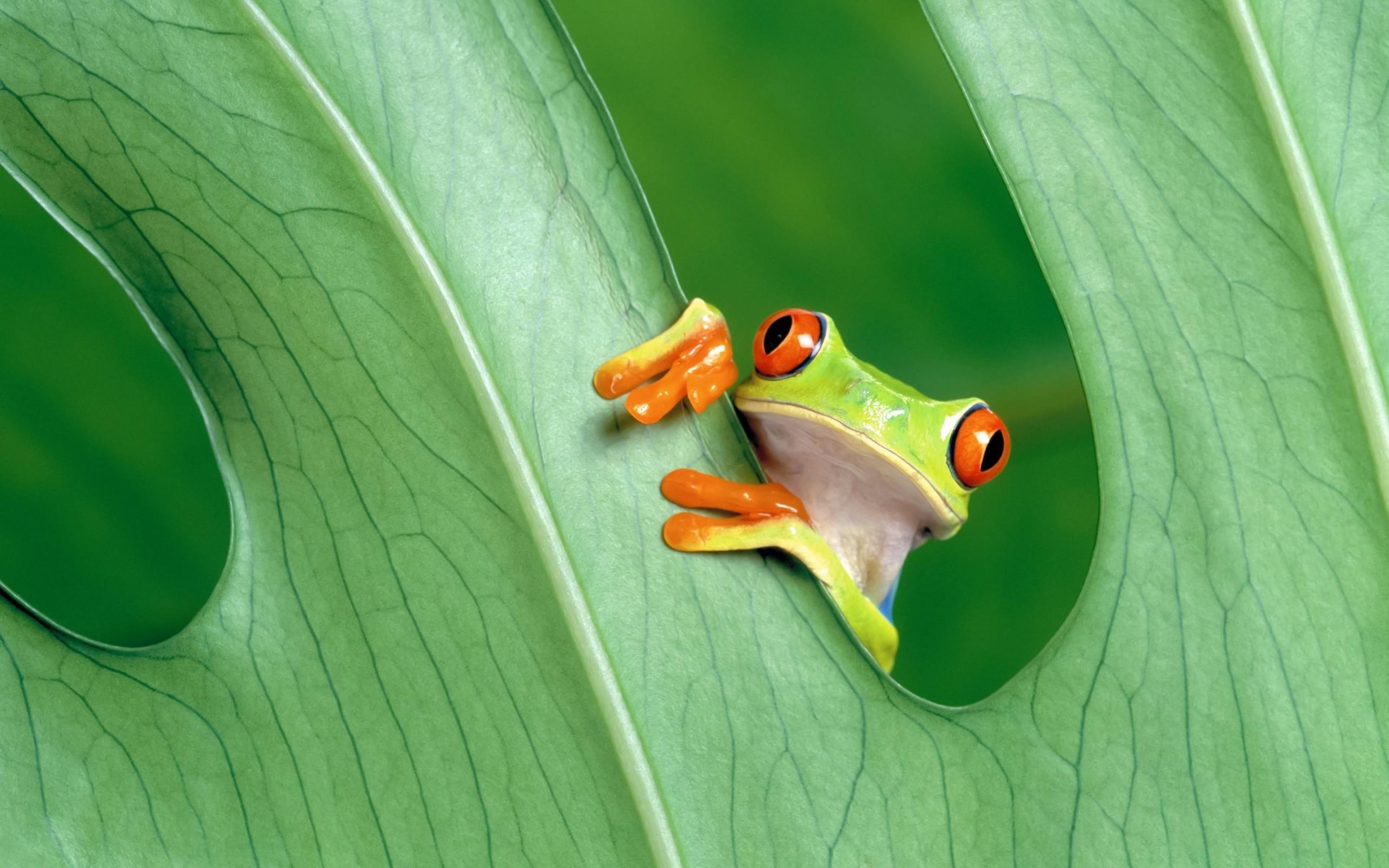 Cute Tree Frog wallpaper