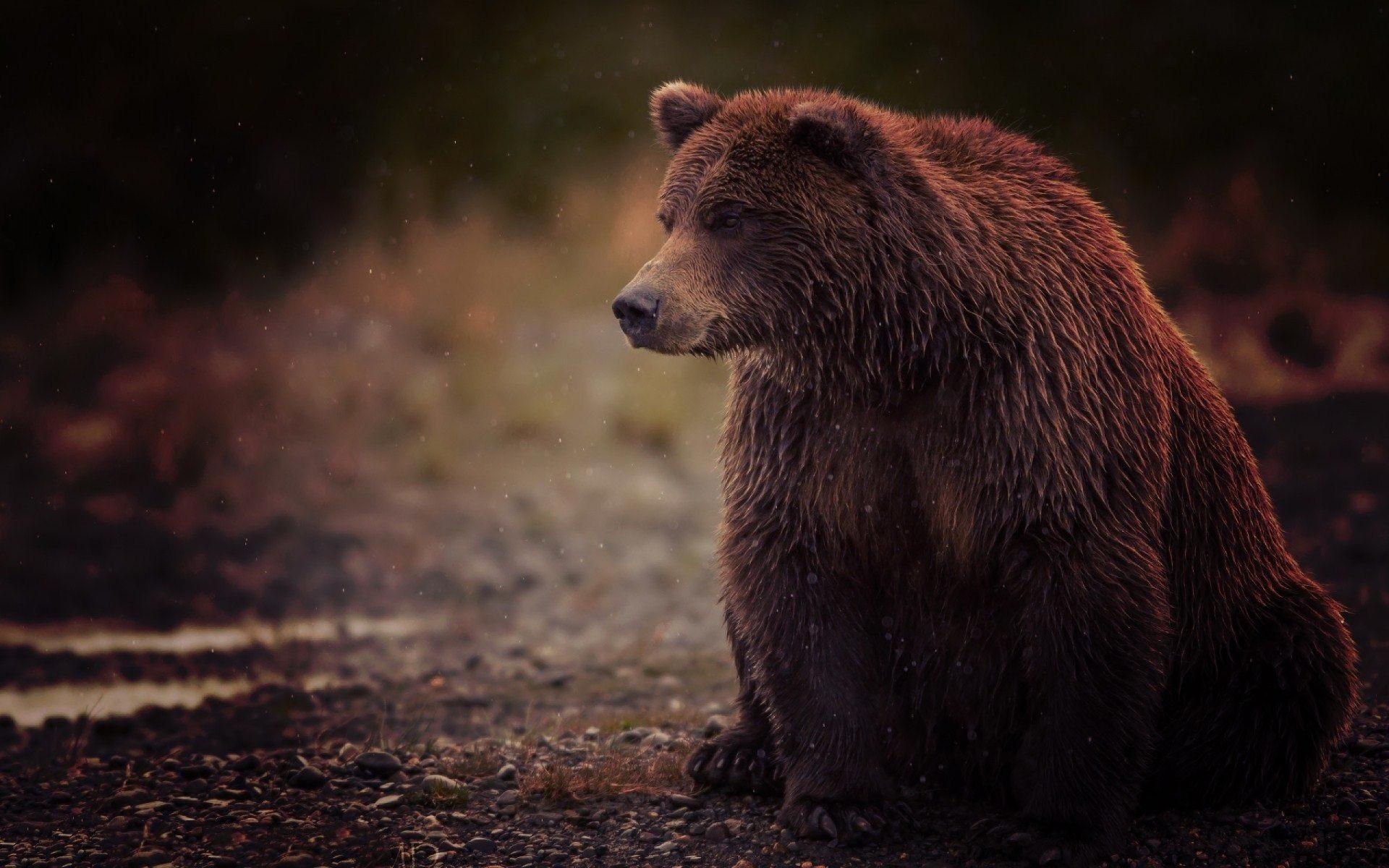 Grizzly bear – Wallpaper | GFXHive